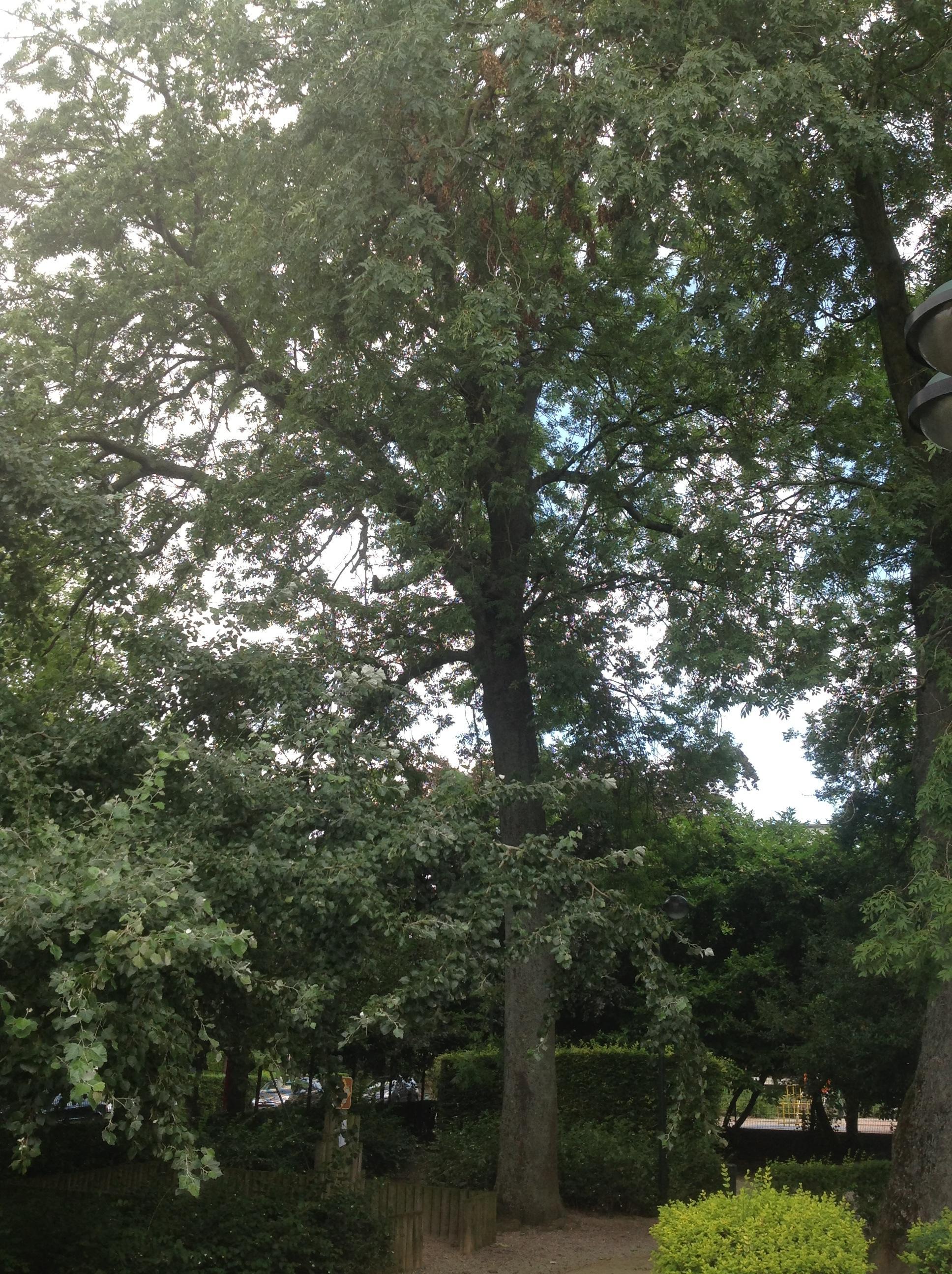 Frêne commun – Berchem-Sainte-Agathe, Parc Pirsoul, parc –  02 Septembre 2013