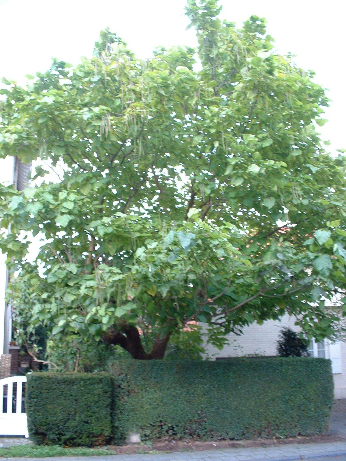 Catalpa commun – Woluwé-Saint-Pierre, Avenue de l'Escrime, 32 –  18 Octobre 2002