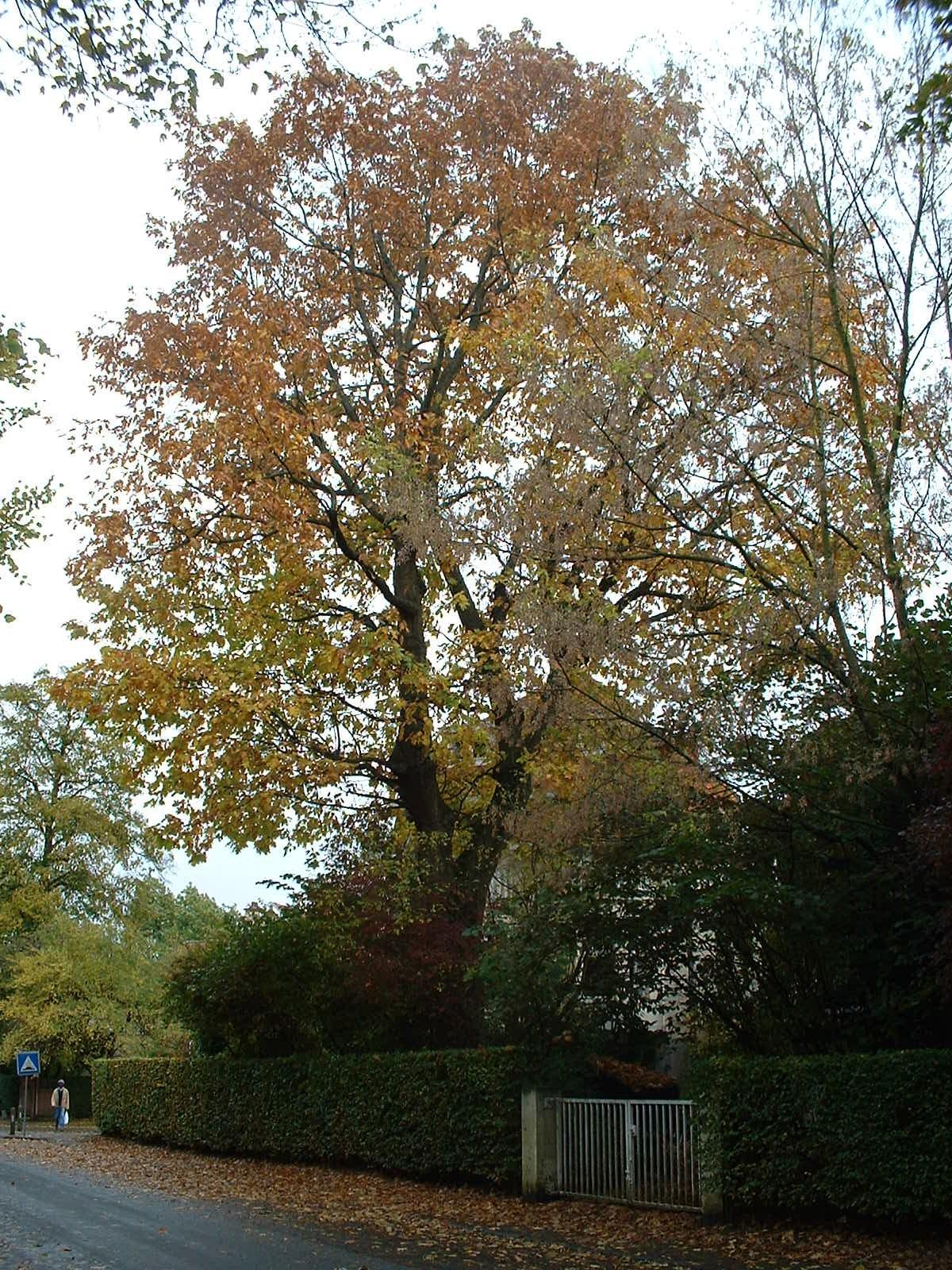 Chêne rouge d'Amérique – Woluwé-Saint-Pierre, Avenue de l'Escrime, 73 –  18 Octobre 2002