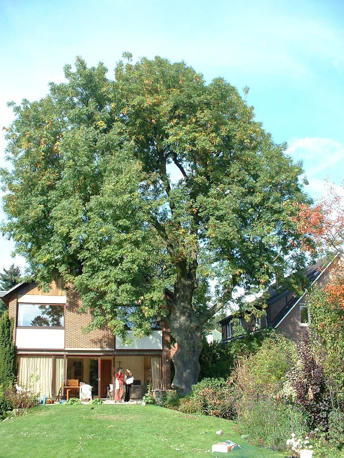 Gewone es – St.- Pieters - Woluwe, Schermkunstlaan, 87 –  18 Oktober 2002