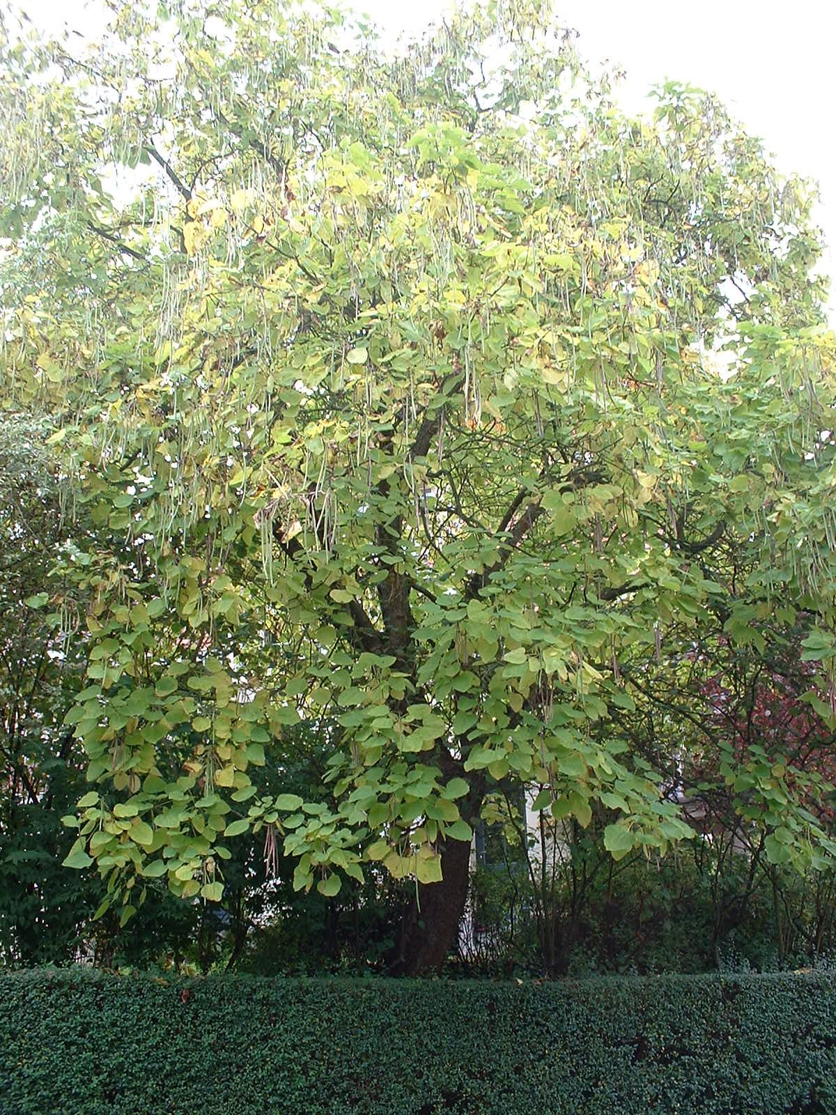 Catalpa commun – Woluwé-Saint-Pierre, Avenue de l'Escrime, 73 –  18 Octobre 2002
