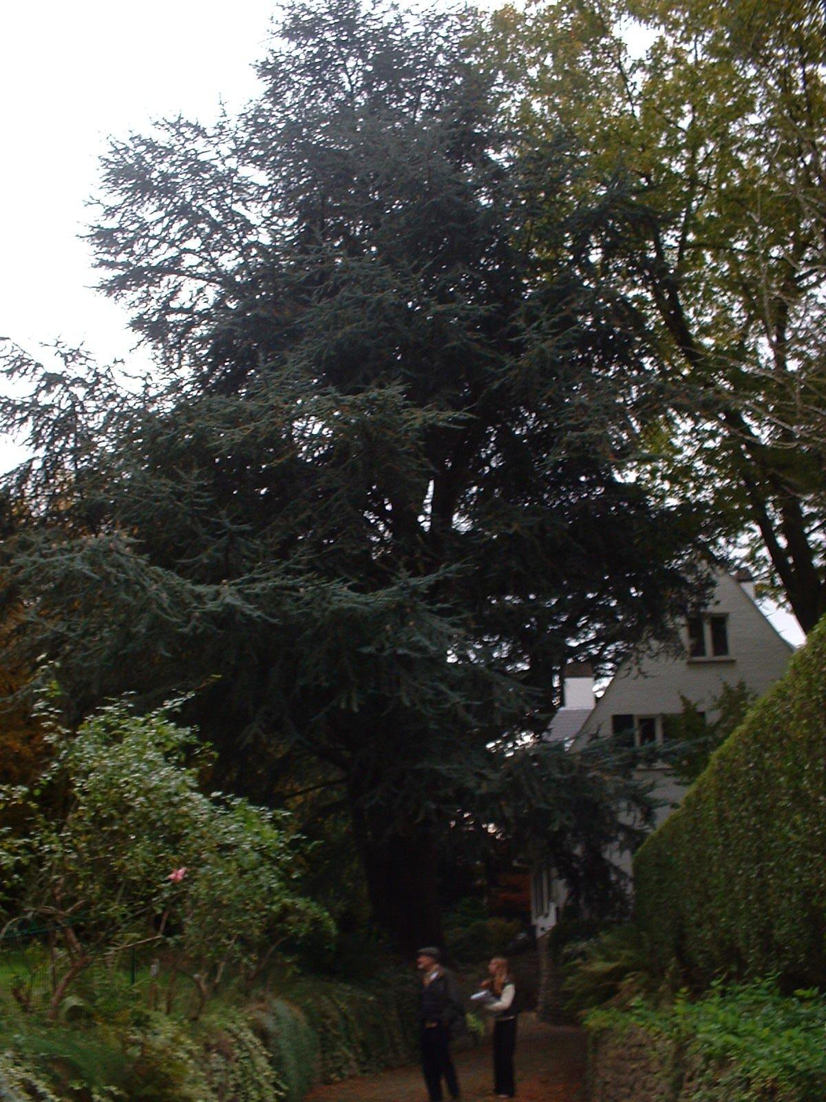 Cèdre bleu de l'Atlas – Woluwé-Saint-Pierre, Avenue de l'Escrime, 49 –  18 Octobre 2002