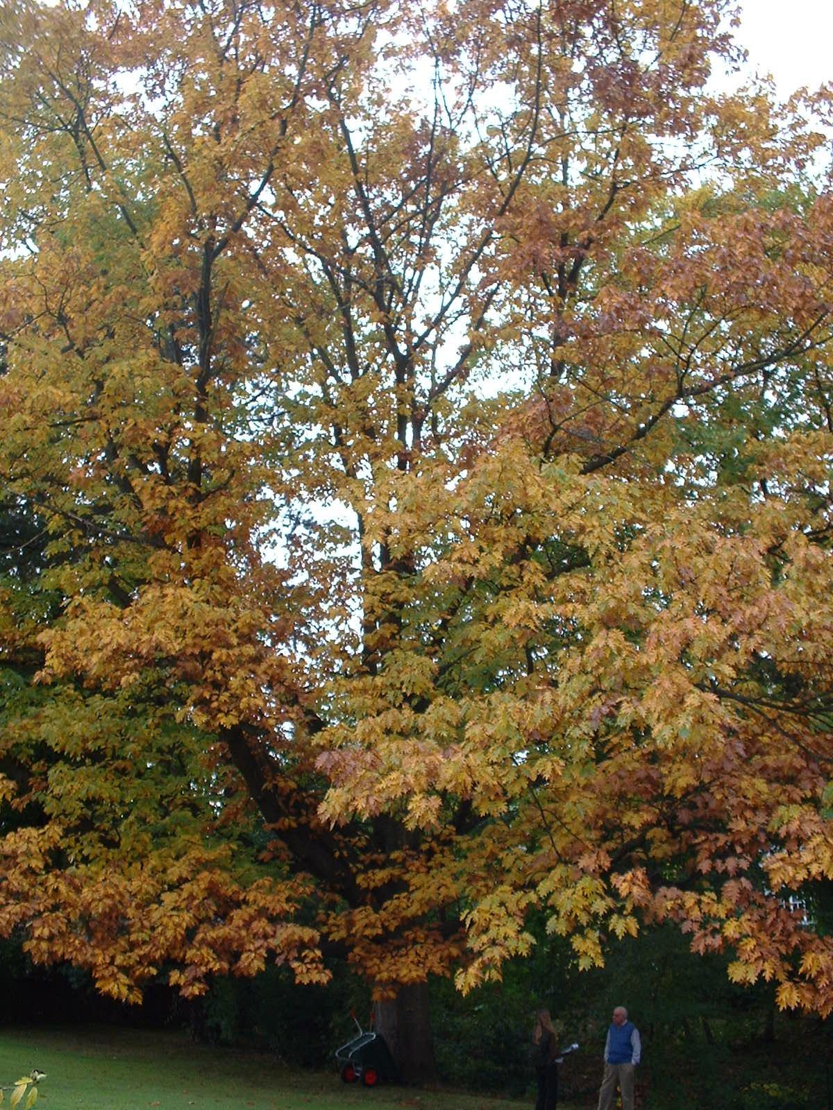 Chêne rouge d'Amérique – Woluwé-Saint-Pierre, Avenue des Cyclistes, 49 –  17 Octobre 2002