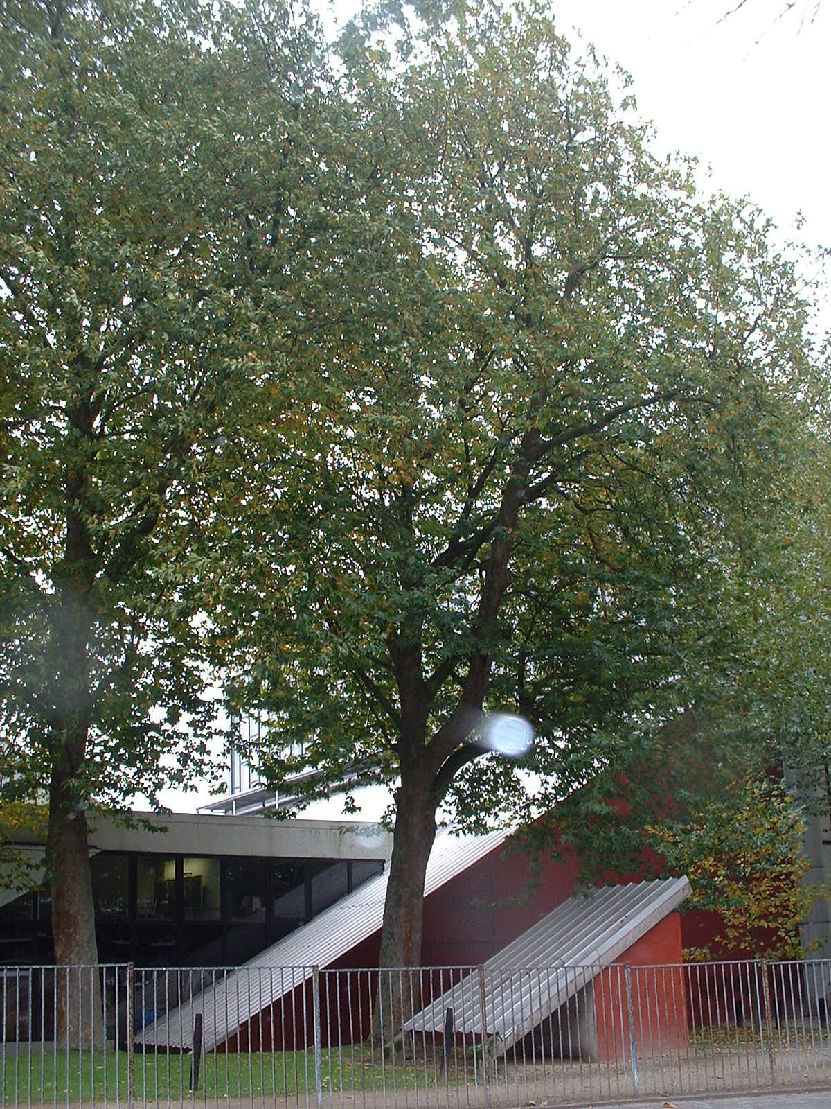 Platane à feuille d'érable – Woluwé-Saint-Pierre, Avenue Salomé, 2 –  22 Octobre 2002