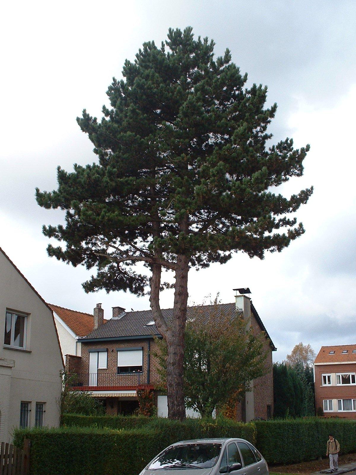 Pin noir – Woluwé-Saint-Pierre, Avenue de la Raquette, 5 –  23 Octobre 2002