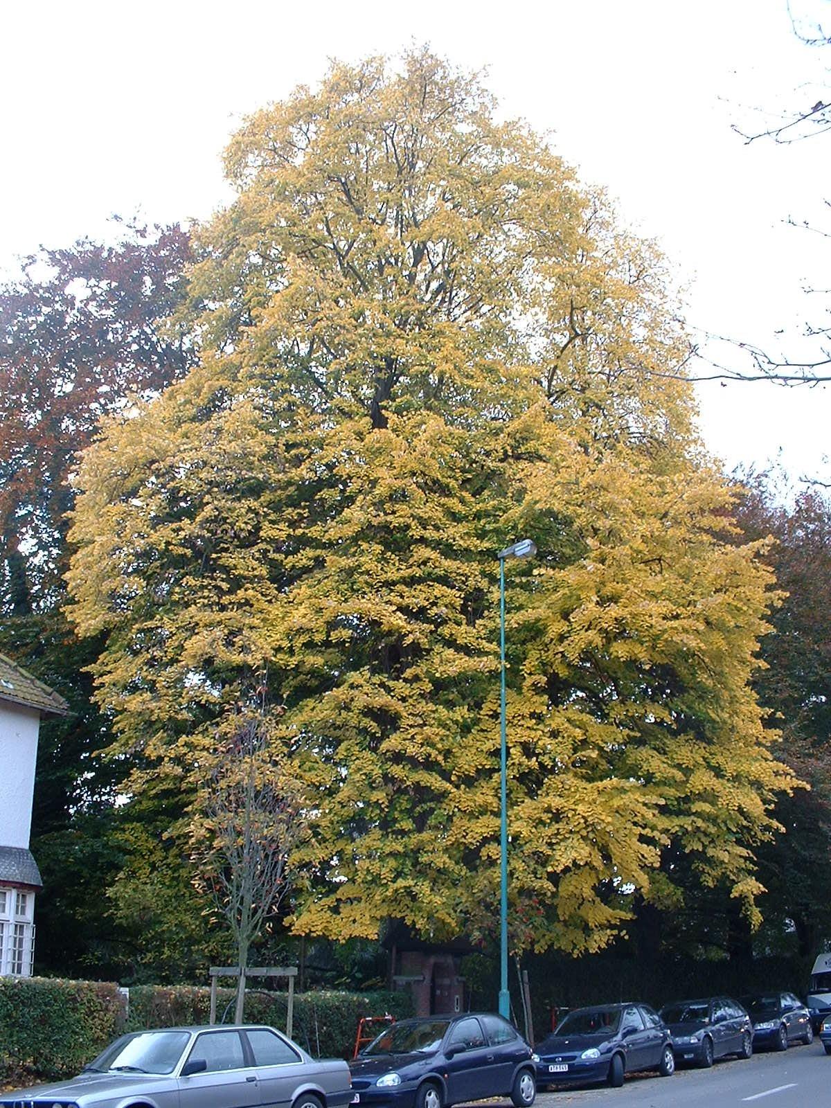 Tilleul argenté – Woluwé-Saint-Pierre, Avenue Grandchamp, 101 –  23 Octobre 2002