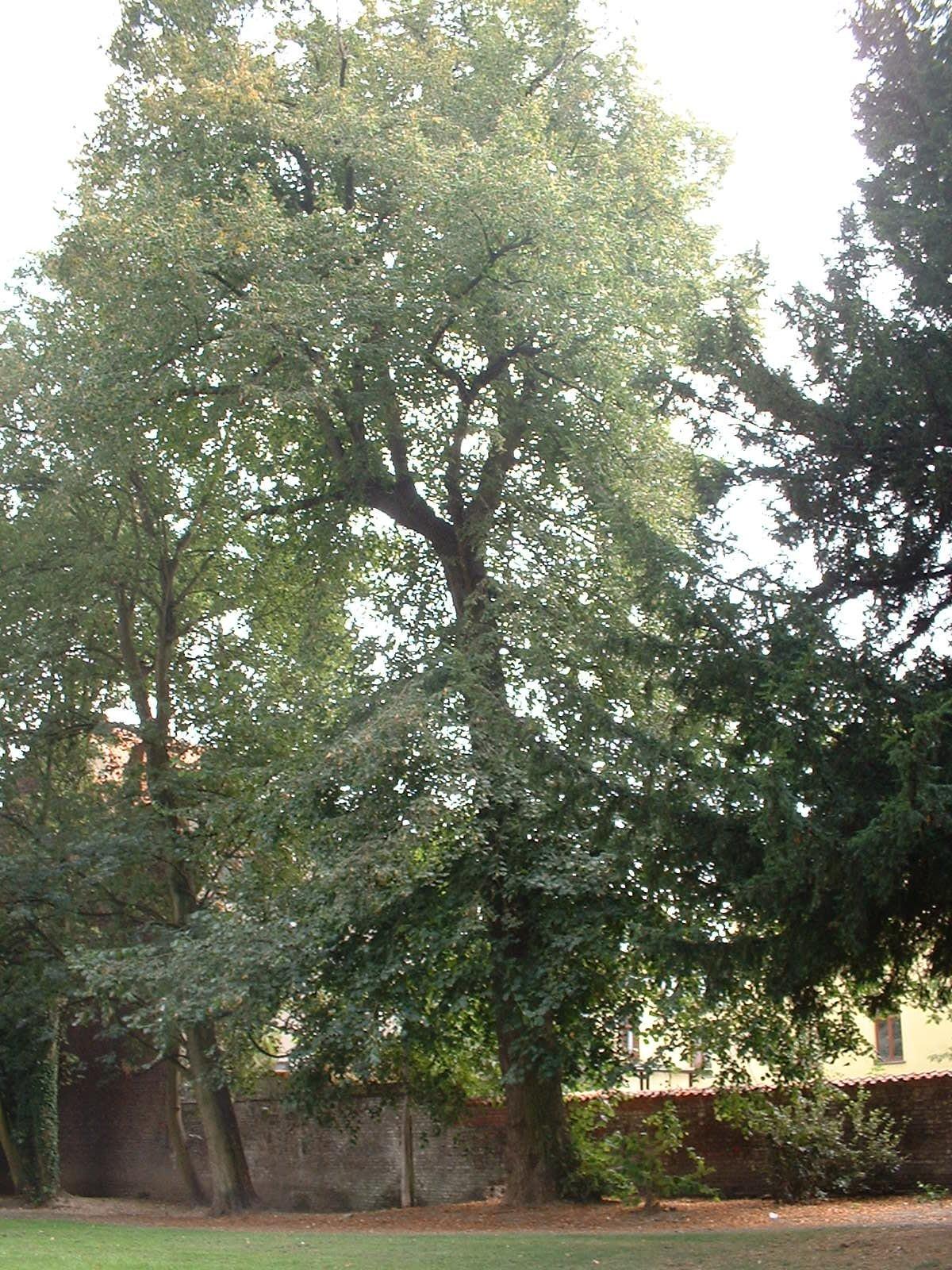 Tilleul à larges feuilles – Berchem-Sainte-Agathe, Parc Saint-Moulin, Rue des Soldats –  21 Août 2003