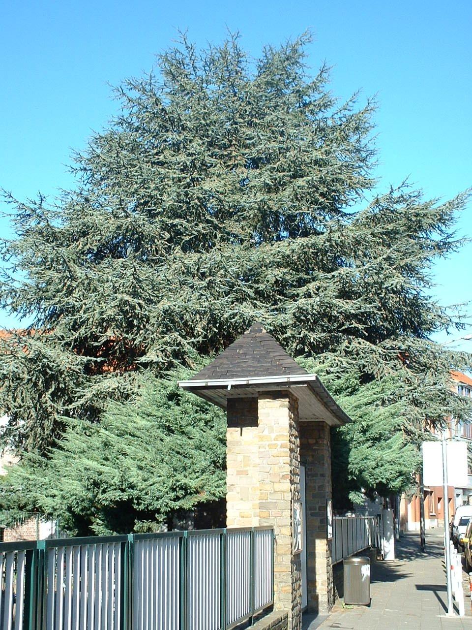 Cèdre bleu de l'Atlas – Woluwé-Saint-Pierre, Rue Felix De Keuster, 60 –  24 Octobre 2002
