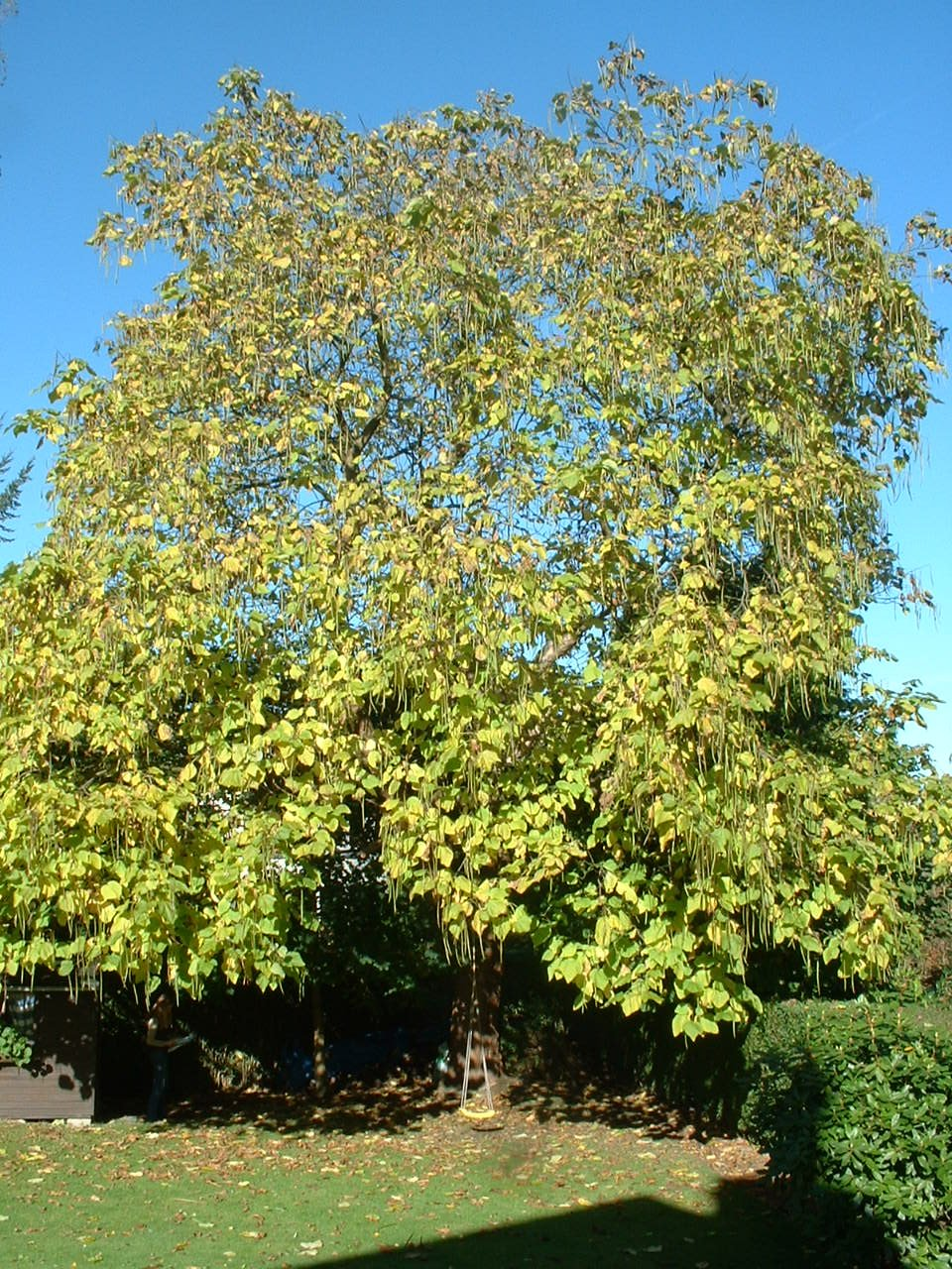 Trompetboom – St.- Pieters - Woluwe, Duizend Meterlaan, 80 –  24 Oktober 2002