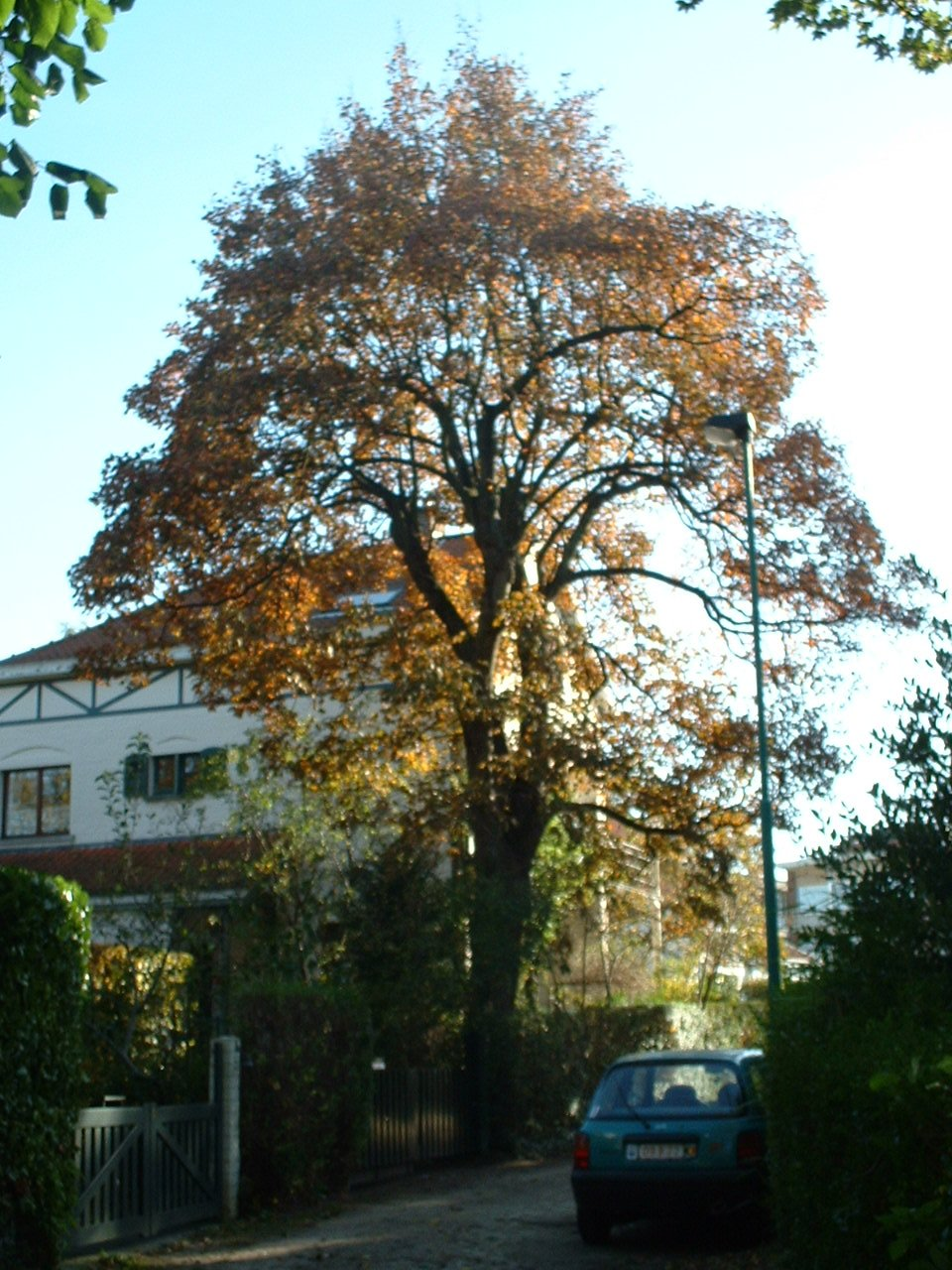 Gewone esdoorn – St.- Pieters - Woluwe, Het Dreveken, 1 –  28 Oktober 2002