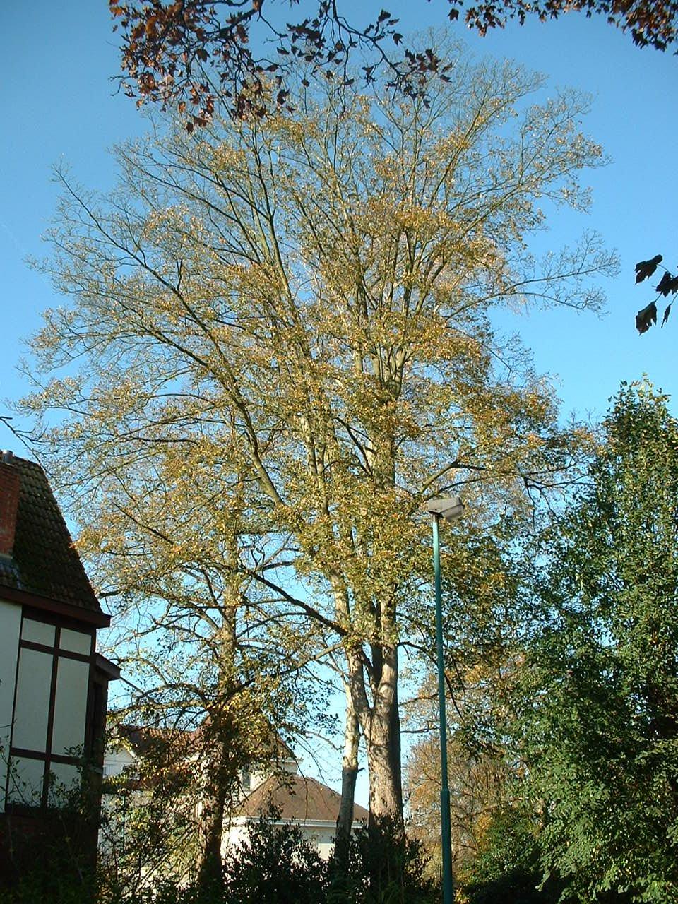 Erable sycomore – Woluwé-Saint-Pierre, Avenue Paule, 16 –  28 Octobre 2002