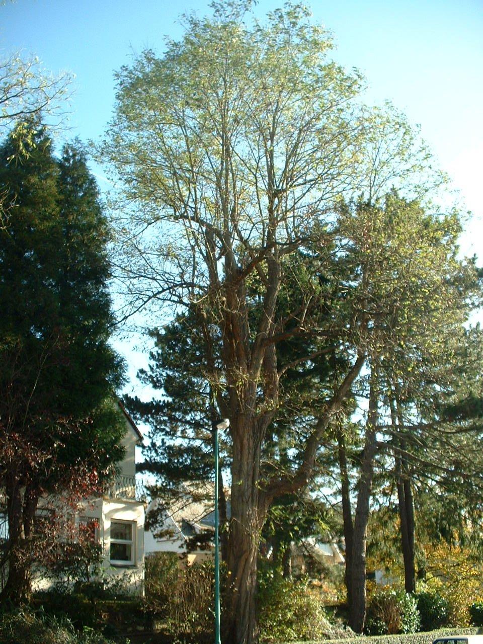 Robinier faux-acacia – Woluwé-Saint-Pierre, Avenue Paule, 23 –  28 Octobre 2002