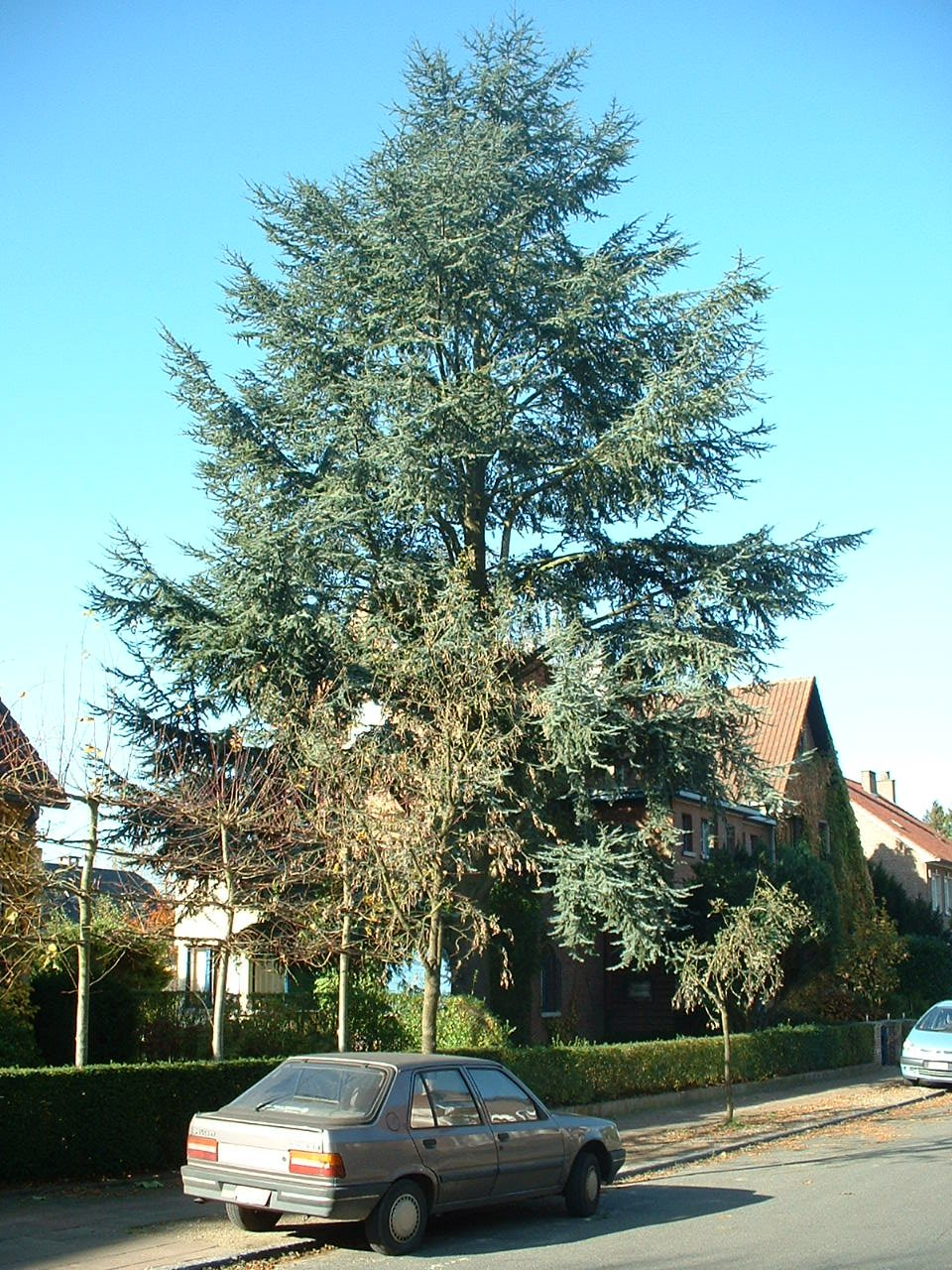Cèdre bleu de l'Atlas – Woluwé-Saint-Pierre, Avenue des Ajoncs, 23 –  28 Octobre 2002