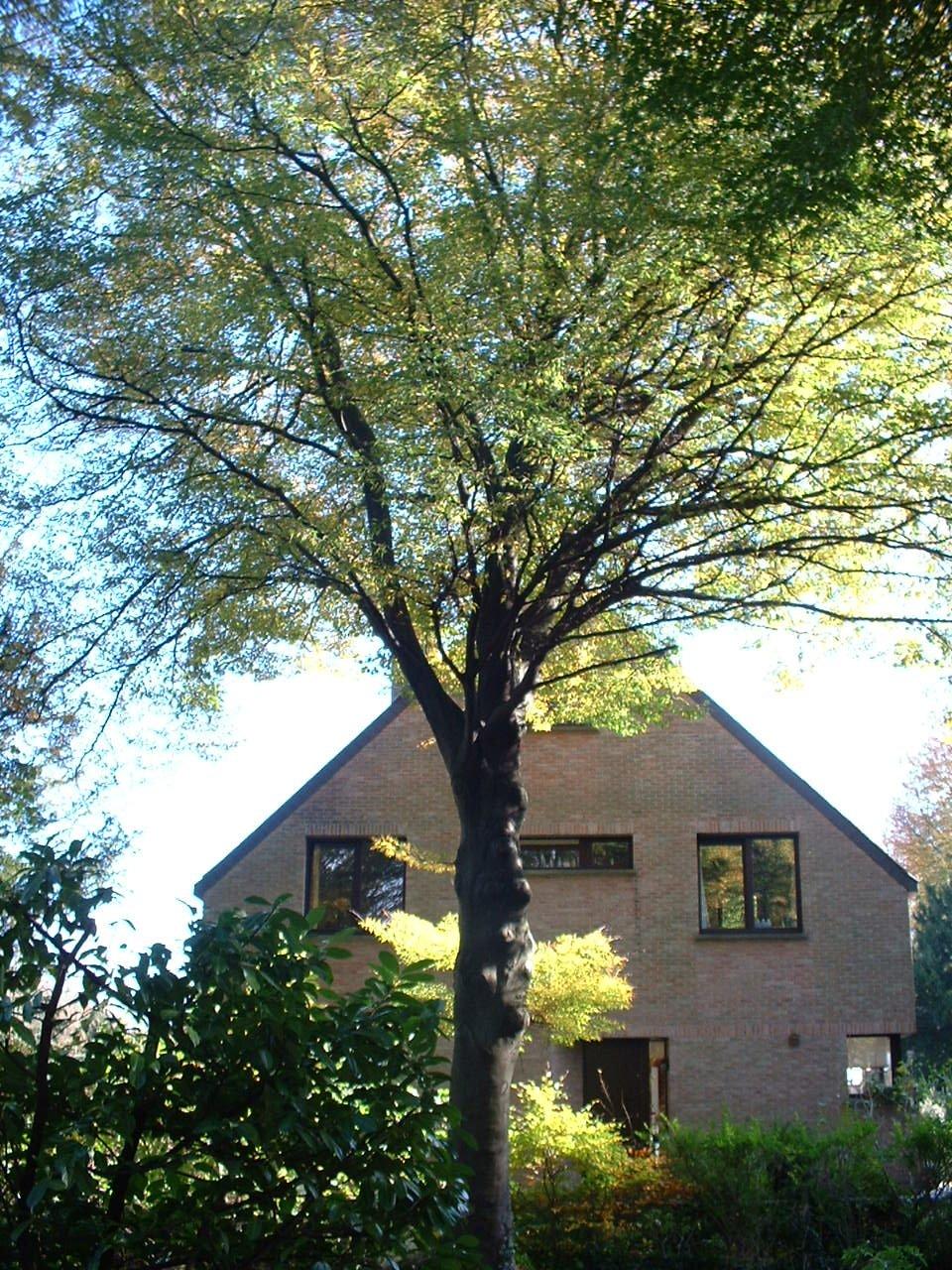 Hêtre à feuilles lacinées – Woluwé-Saint-Pierre, Avenue de Tervueren, 404 –  28 Octobre 2002
