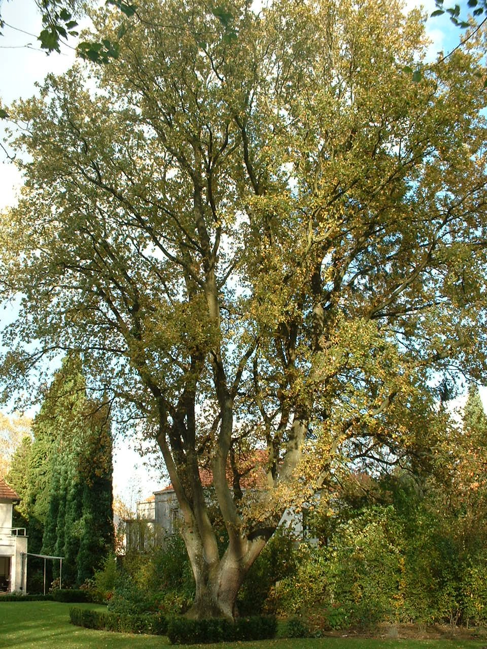 Chêne pédonculé – Woluwé-Saint-Pierre, Avenue Prince Baudouin, 19 –  28 Octobre 2002