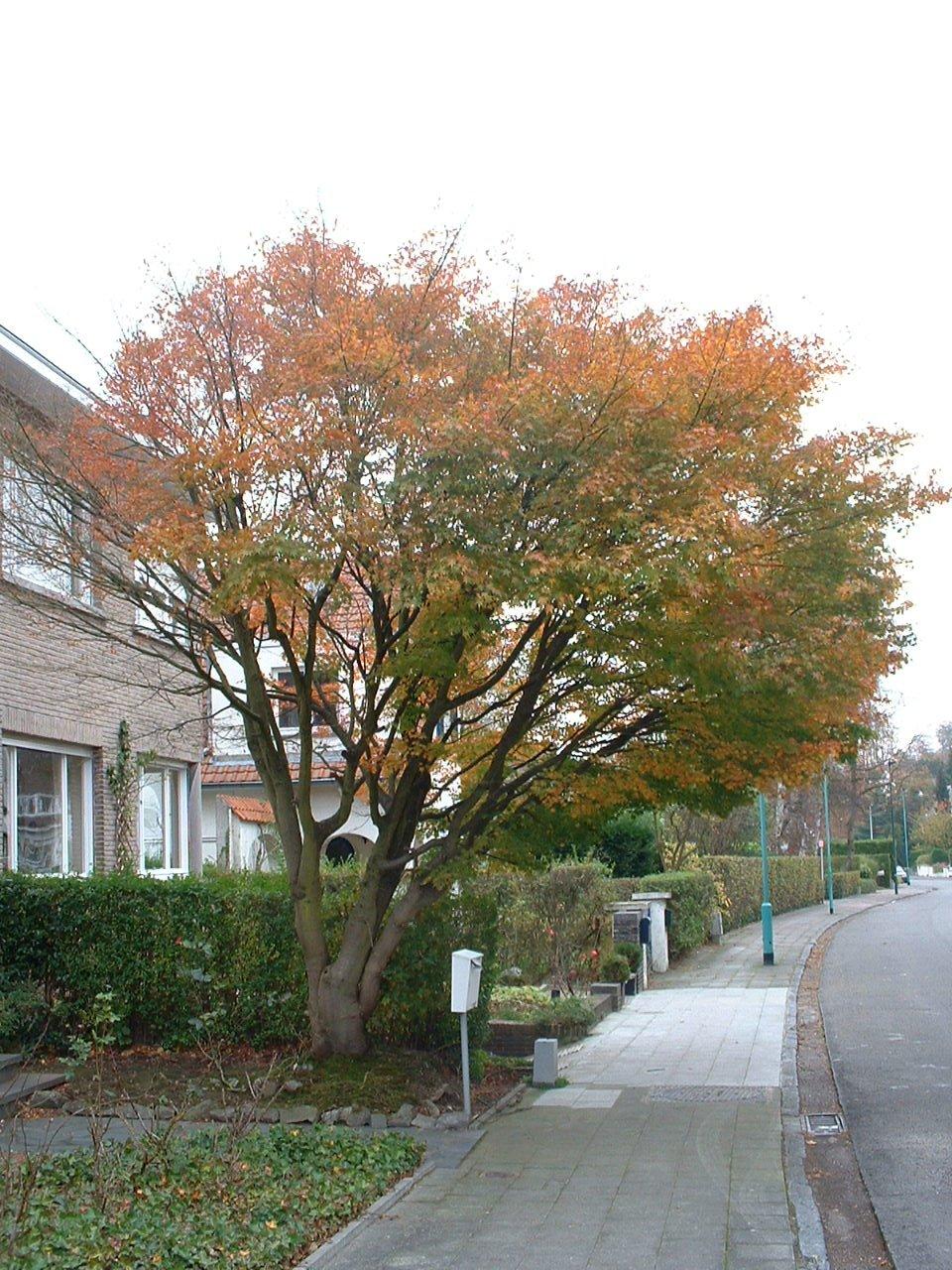 Erable palmé – Woluwé-Saint-Pierre, Avenue de la Faisanderie, 22 –  29 Octobre 2002