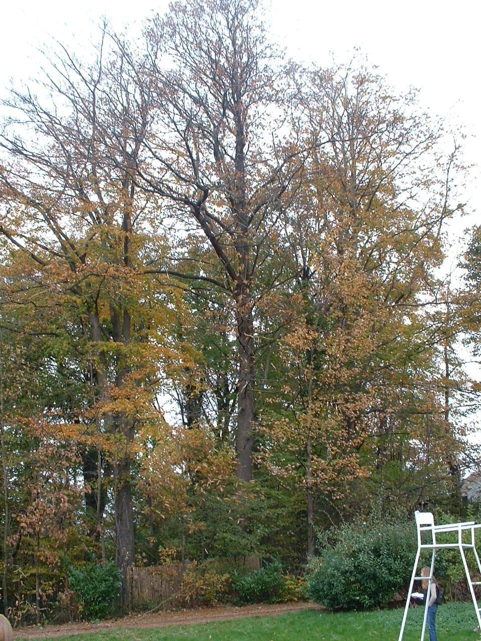 Châtaignier – Woluwé-Saint-Pierre, Avenue Prince Baudouin, 89 –  29 Octobre 2002