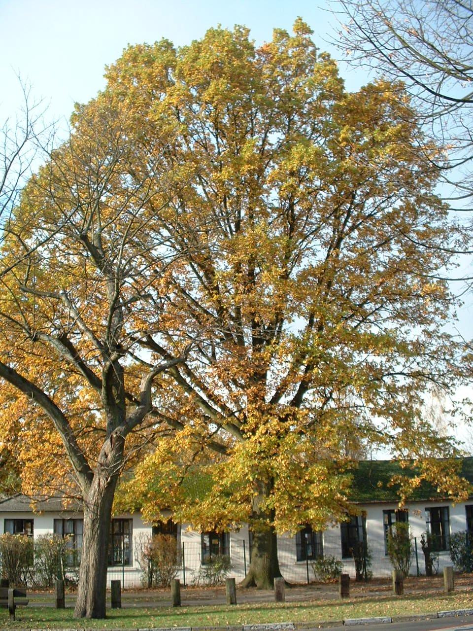 Chêne pédonculé – Woluwé-Saint-Pierre, Avenue Salomé –  04 Novembre 2002