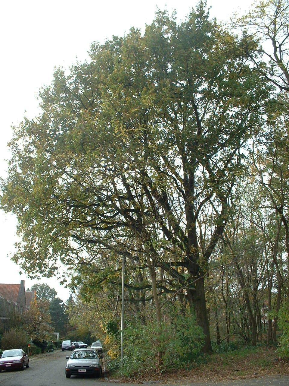 Chêne pédonculé – Woluwé-Saint-Pierre, Clos du Manoir –  04 Novembre 2002