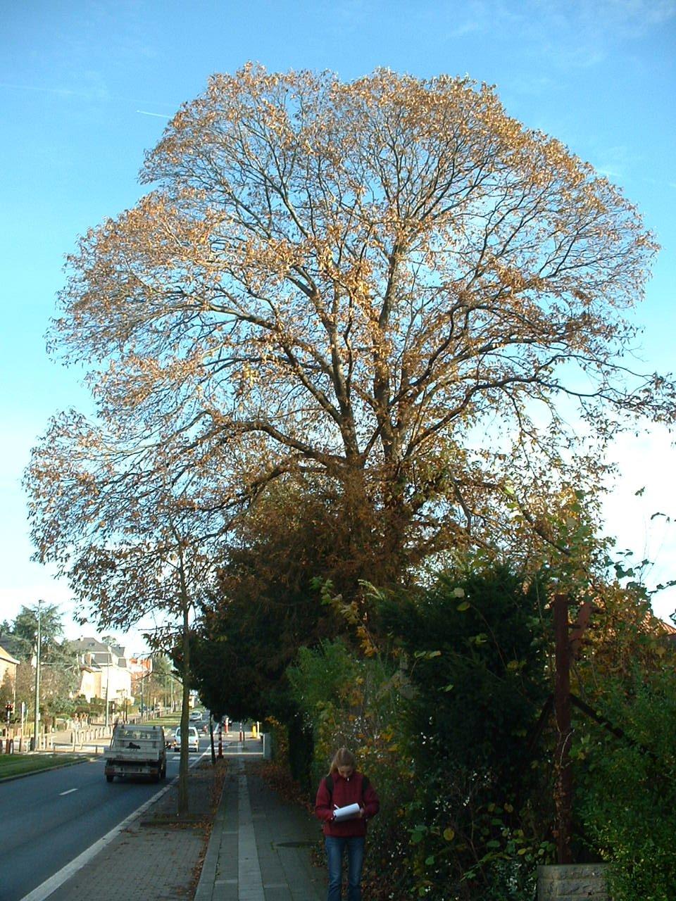 Tamme kastanje – St.- Pieters - Woluwe, Park van het Manoir d'Anjou, Alfred Madouxlaan –  06 November 2002