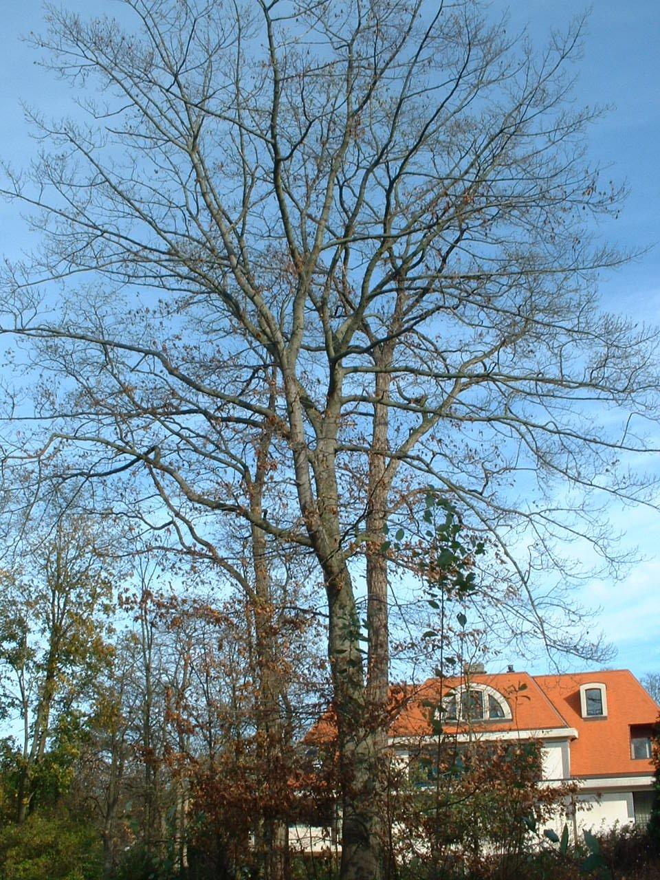 Chêne rouge d'Amérique – Woluwé-Saint-Pierre, Avenue du Putdael, 4 –  06 Novembre 2002
