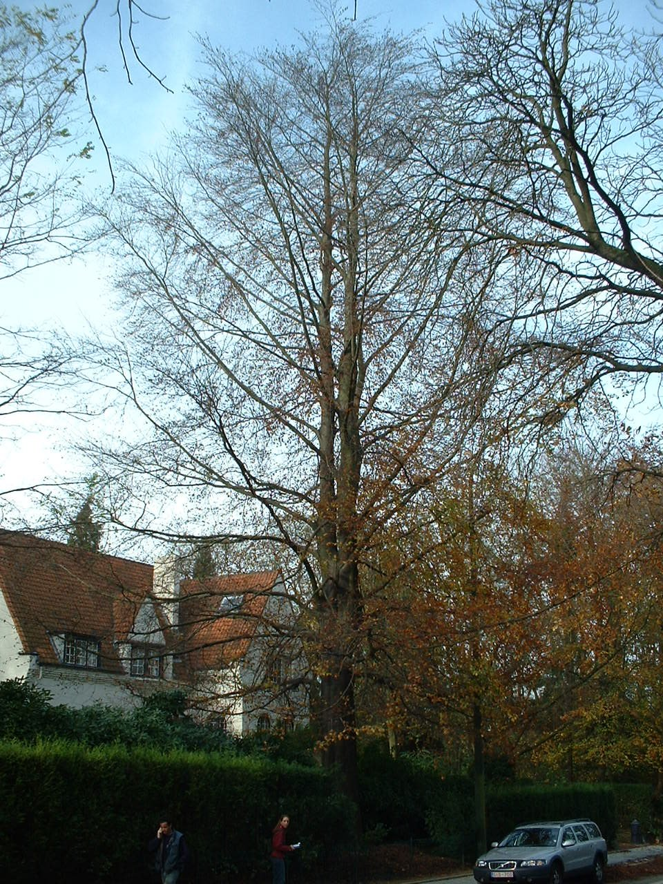 Hêtre d'Europe – Woluwé-Saint-Pierre, Avenue de Tervueren, 429 –  06 Novembre 2002