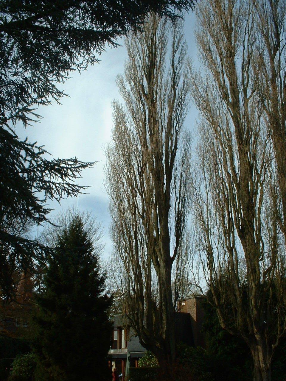 Peuplier d'Italie – Woluwé-Saint-Pierre, Avenue de Tervueren, 421 –  06 Novembre 2002