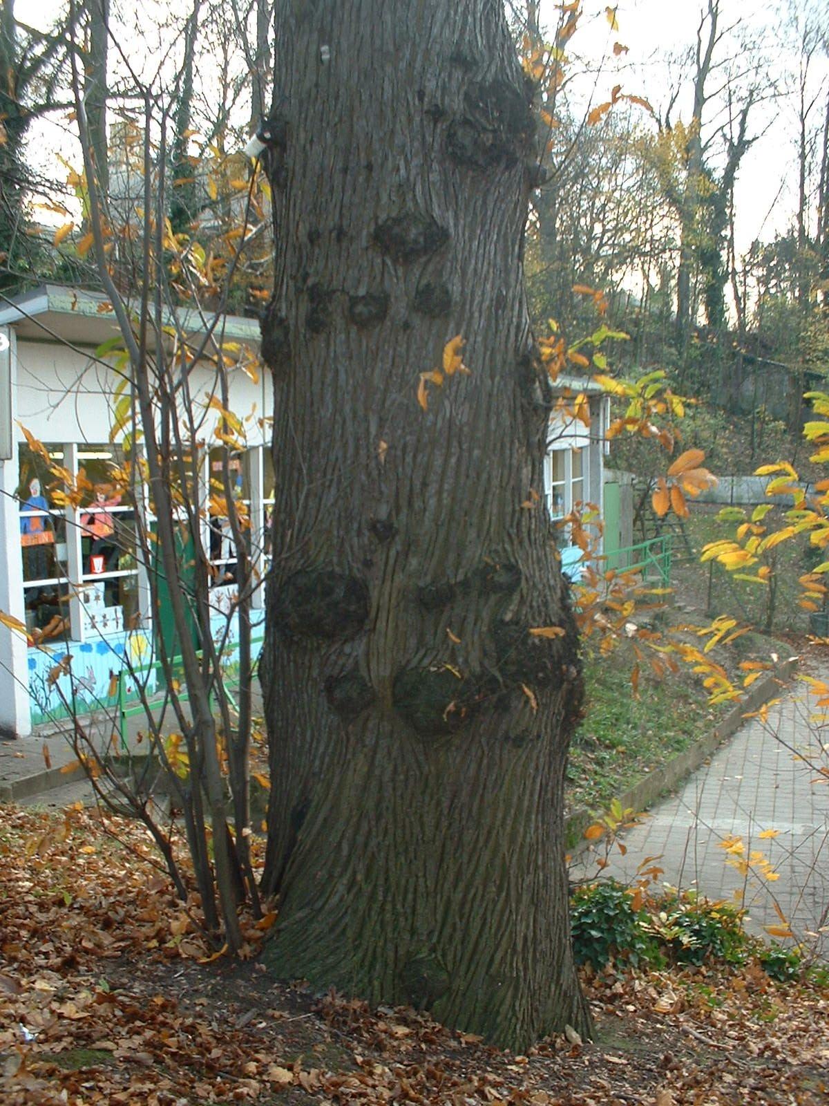 Châtaignier – Uccle, Avenue du Jonc, 2-4 –  15 Novembre 2002