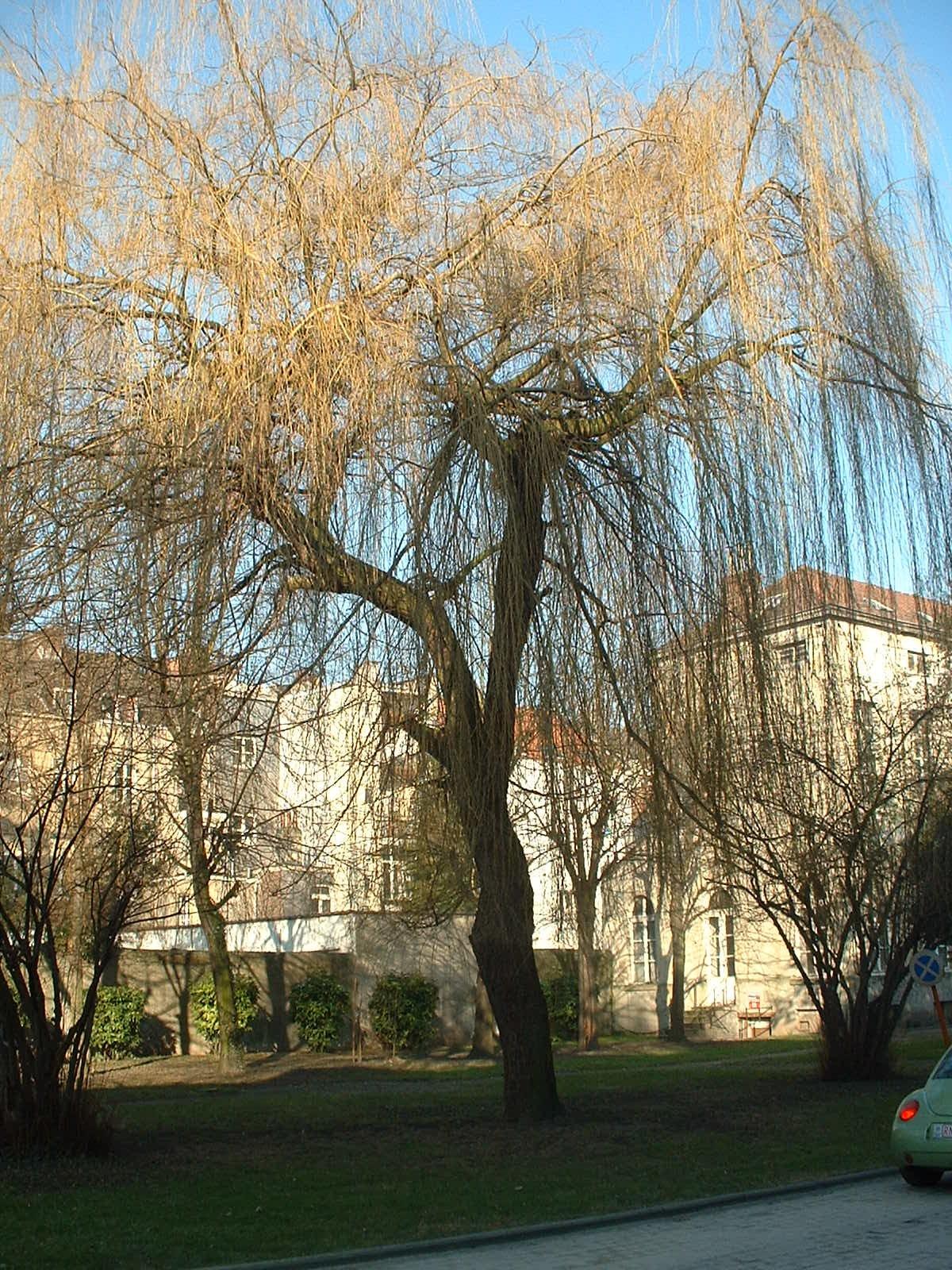 Saule pleureur – Bruxelles, Jardins de l'Hospice Pachéco, parc privé –  21 Février 2003