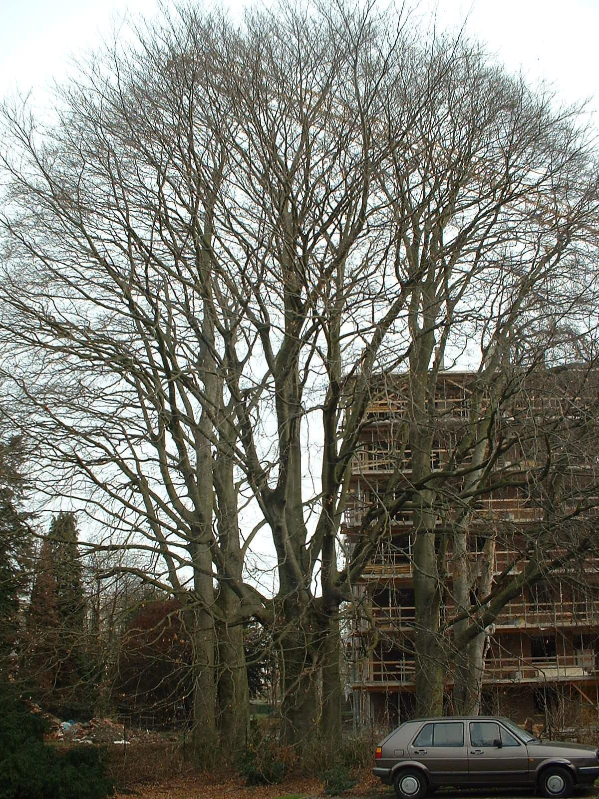 Hêtre pourpre – Anderlecht, Propriété rue de la Laiterie, Rue de la Laiterie, 57 –  04 Mars 2003