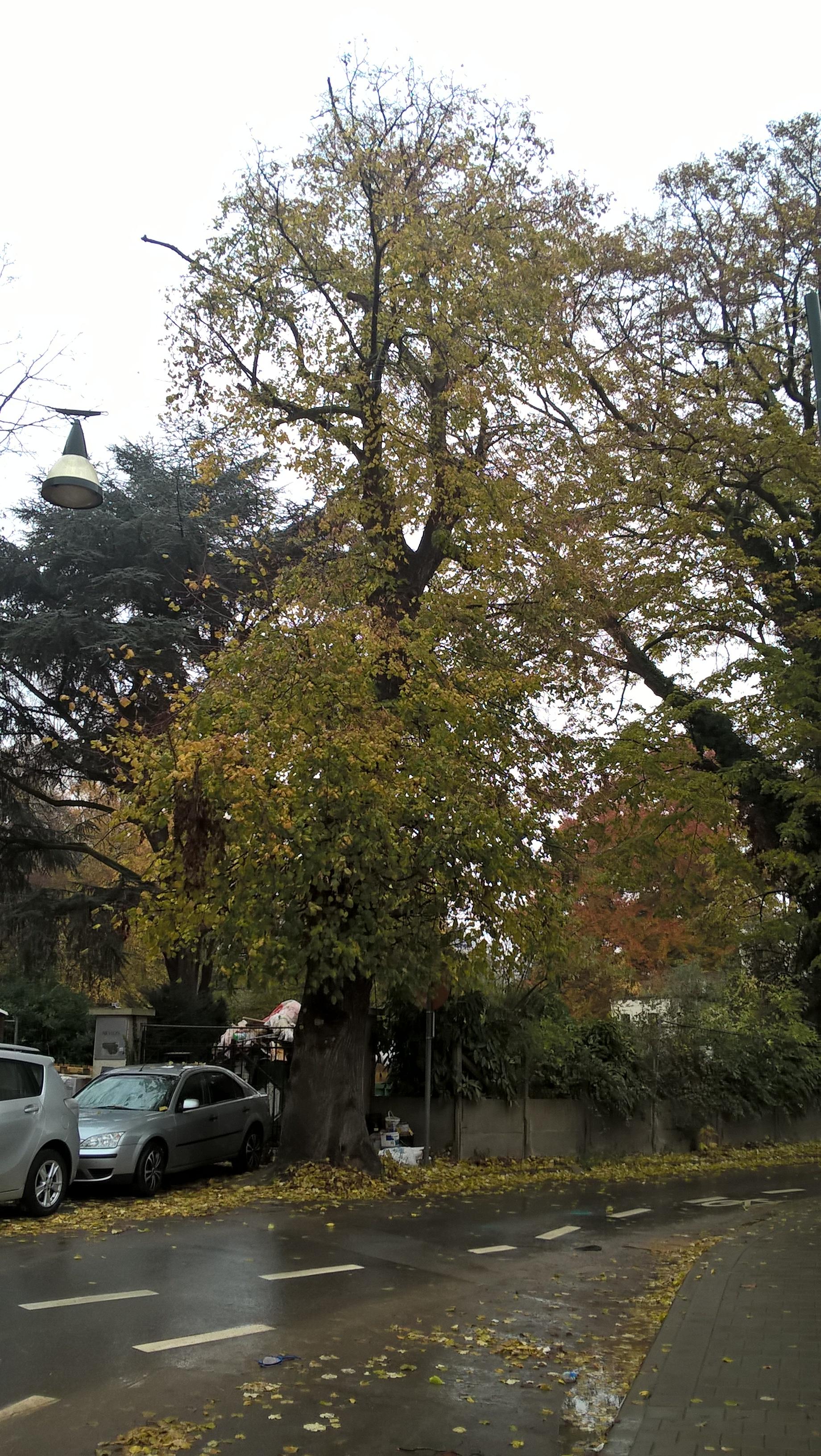 Tilia sp – Anderlecht, Propriété rue de la Laiterie, Rue de la Laiterie, 57 –  20 Octobre 2017