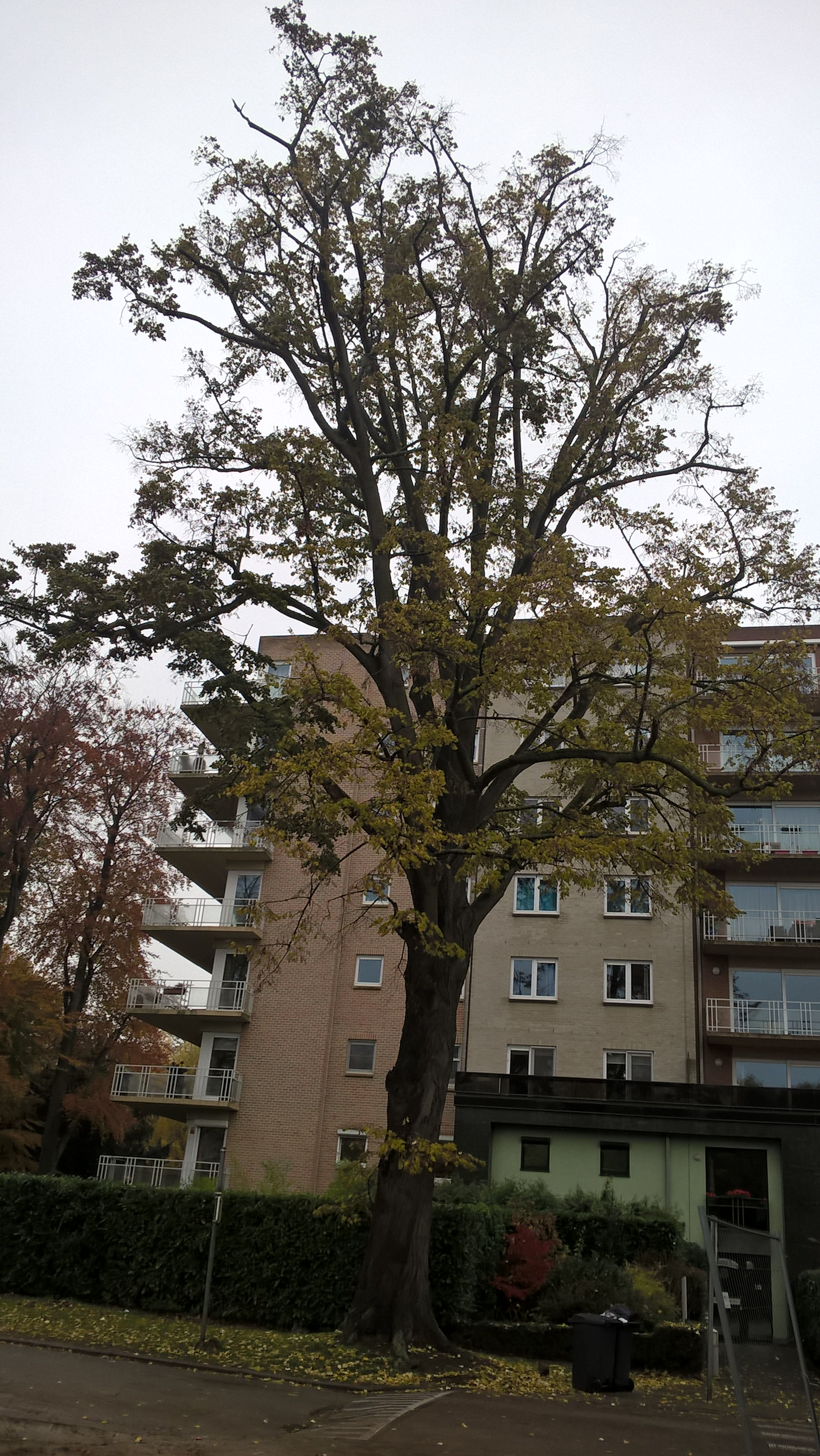 Tilia sp – Anderlecht, Propriété rue de la Laiterie, Rue de la Laiterie, 59? –  20 Novembre 2017