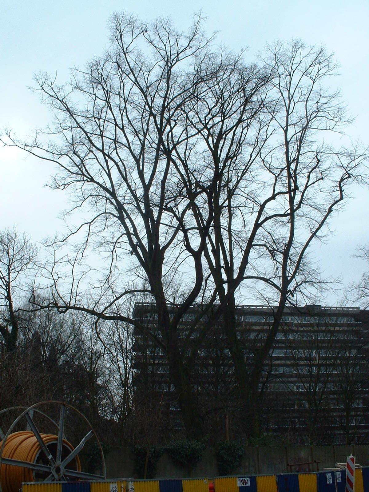 Tilia sp – Anderlecht, Propriété rue de la Laiterie, Rue de la Laiterie, 57 –  04 Mars 2003