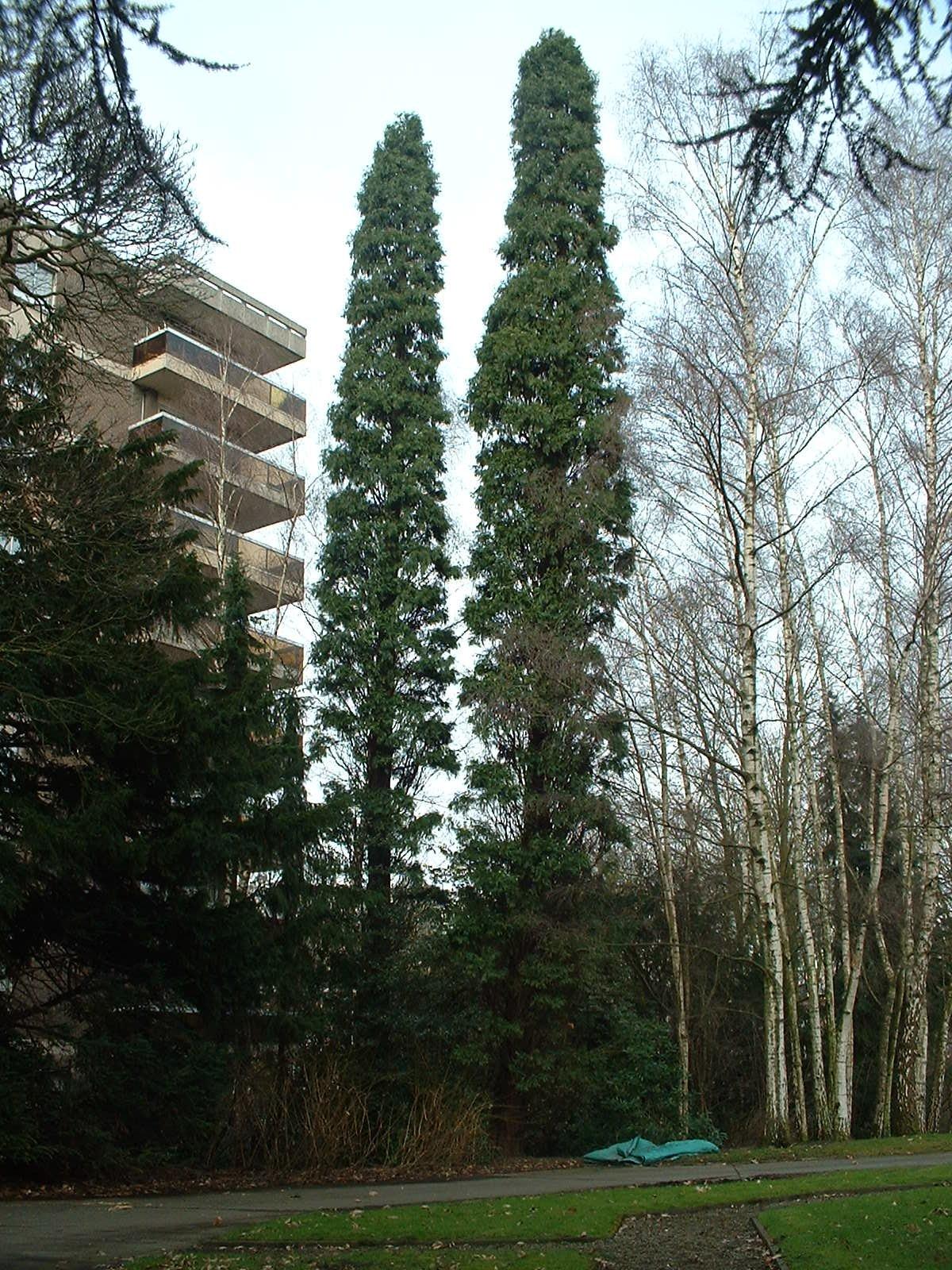 Calocedrus decurrens 'Columnaris' – Anderlecht, Propriété rue de la Laiterie, Rue de la Laiterie, 57 –  04 Mars 2003