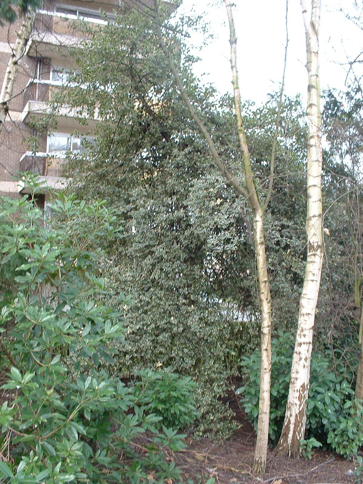 Ilex aquifolium 'Albomarginata' – Anderlecht, Propriété rue de la Laiterie, Rue de la Laiterie, 57 –  04 Mars 2003
