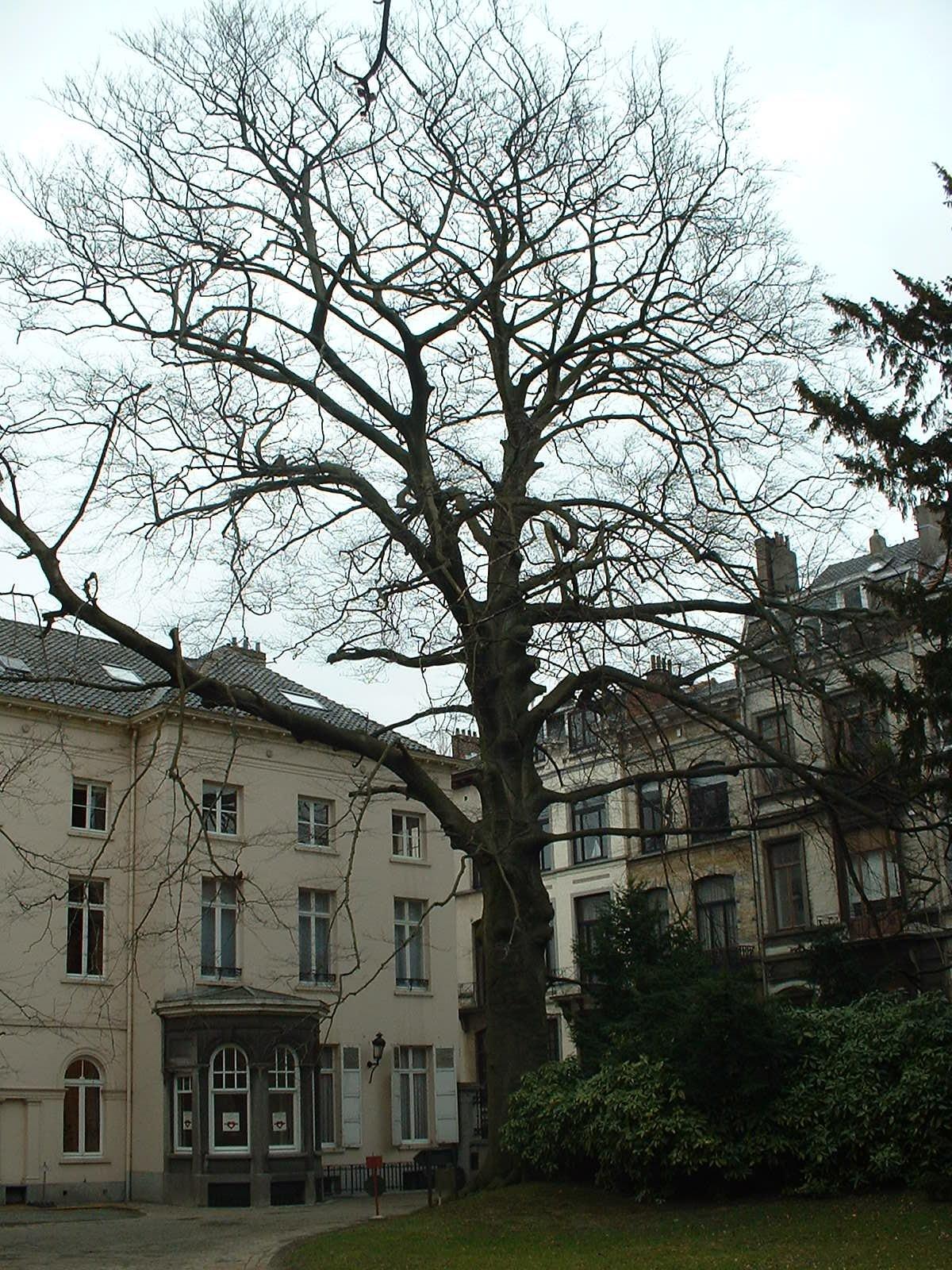 Hêtre pourpre – Ixelles, Parc Solvay, Rue des Champs Elysées, 43 –  04 Mars 2003