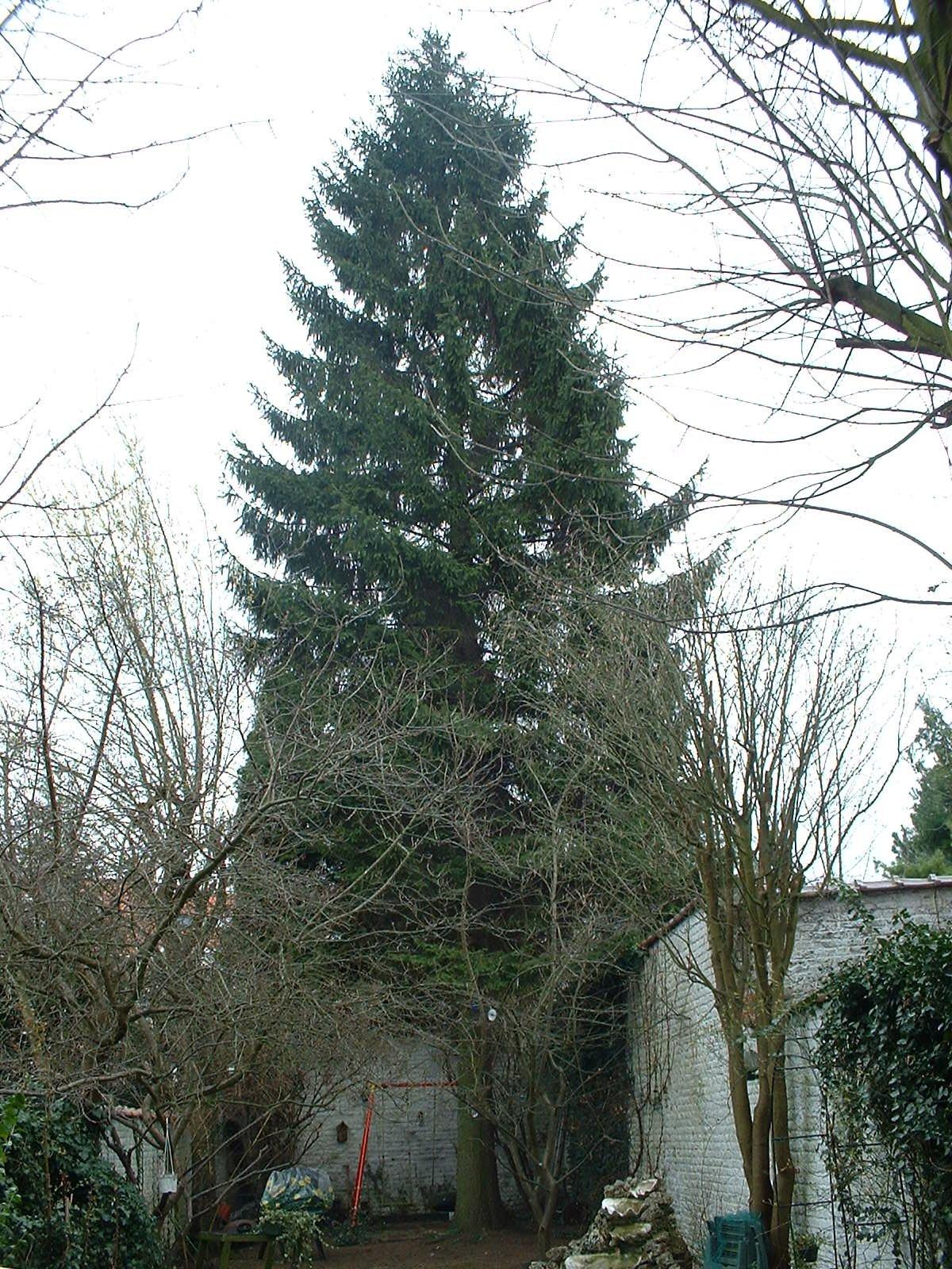 Epicea commun – Woluwé-Saint-Pierre, Rue Jean Gérard Eggericx, 13 –  10 Mars 2003