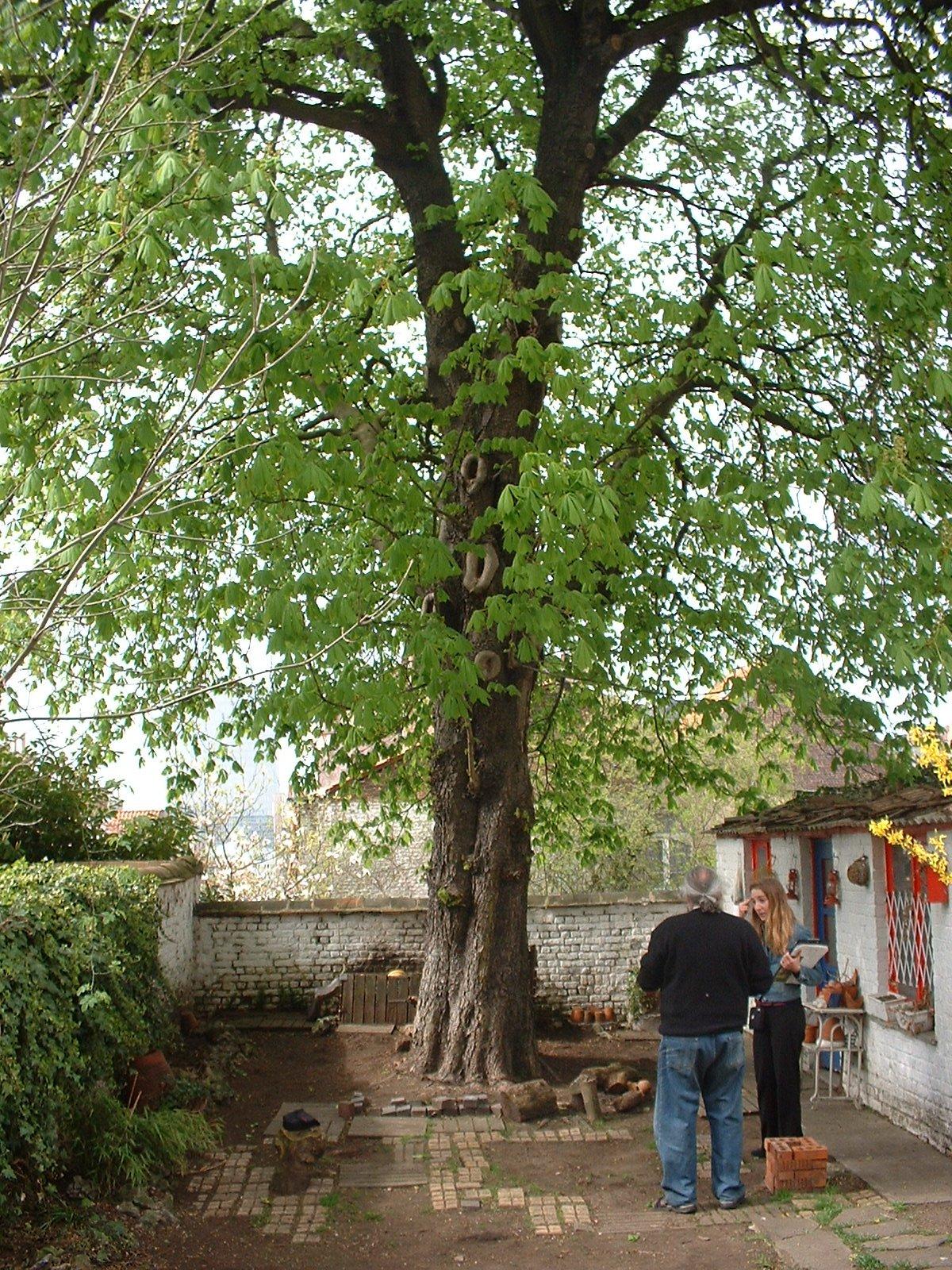 Marronnier commun – Schaerbeek, Rue de la Poste, 97 –  03 Avril 2003