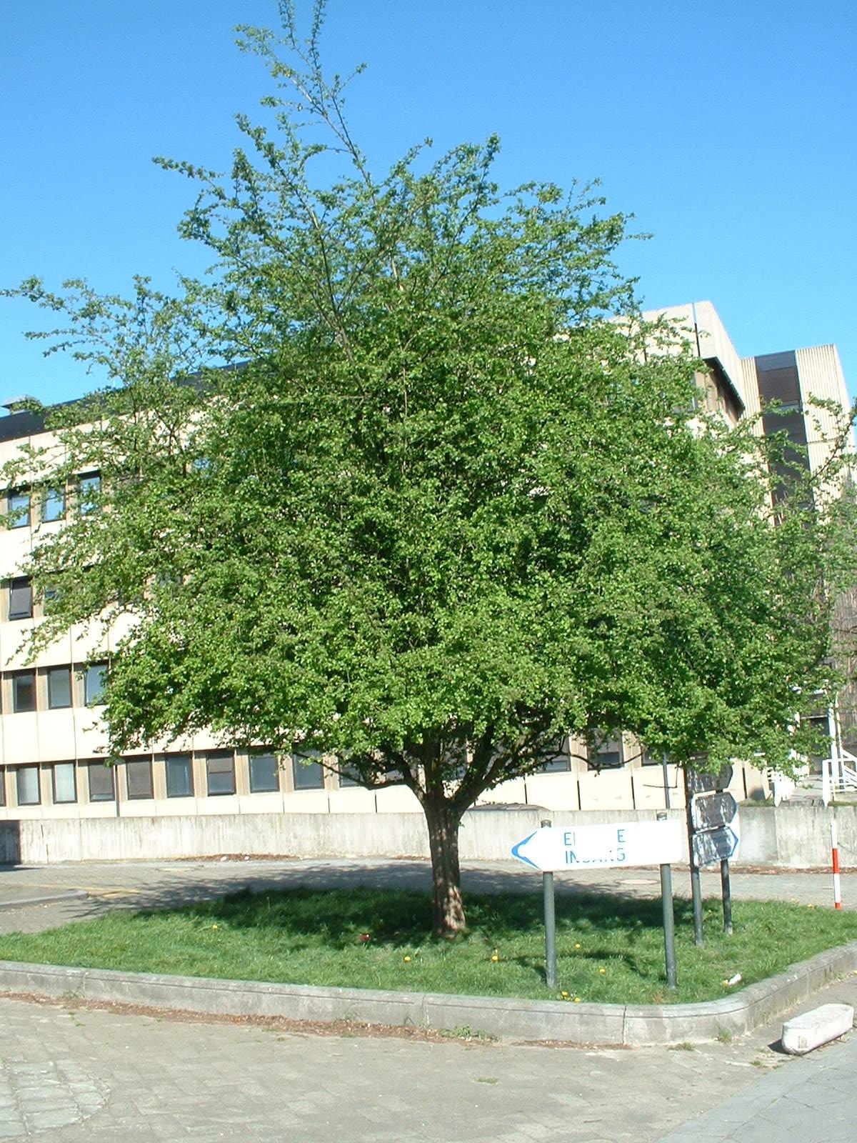 Aubépine à un style/ Epine blanche – Ixelles, Rue Jean Paquot, 63 –  16 Avril 2003