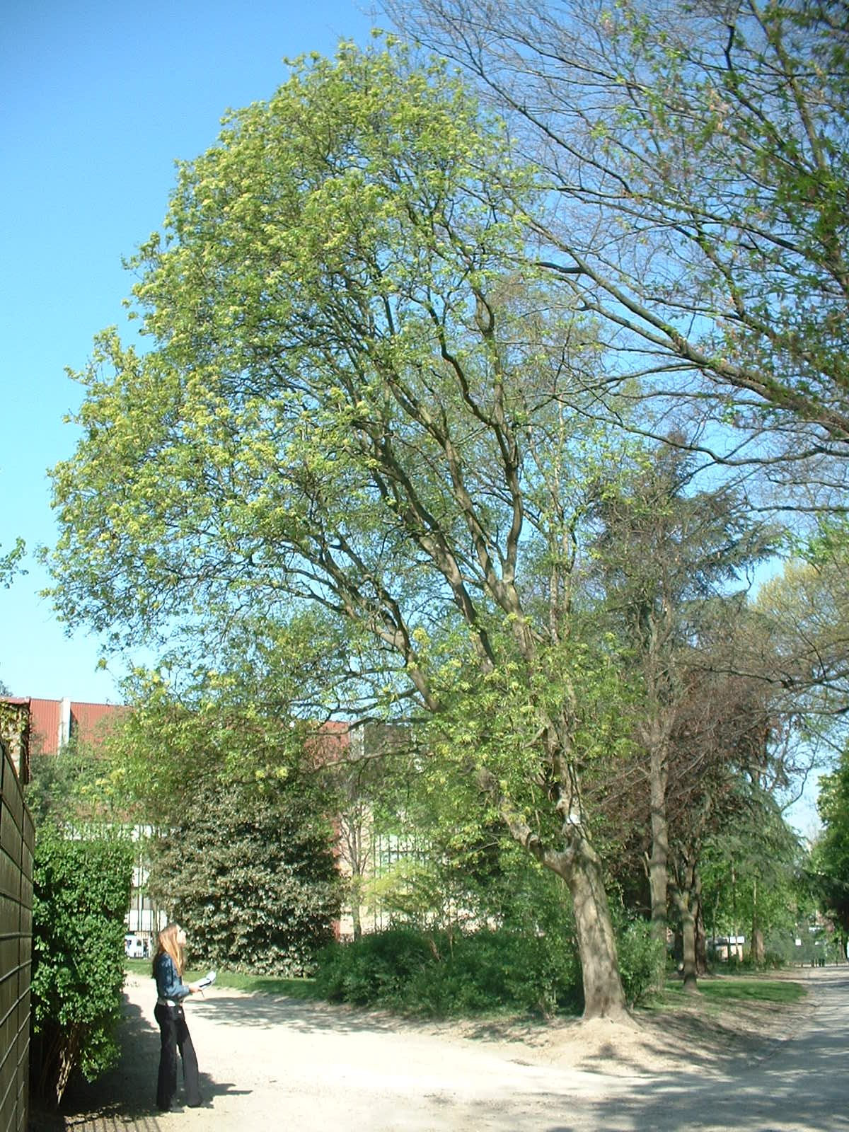 Frêne à fleurs/plumeux – Anderlecht, Parc Astrid, parc –  17 Avril 2003