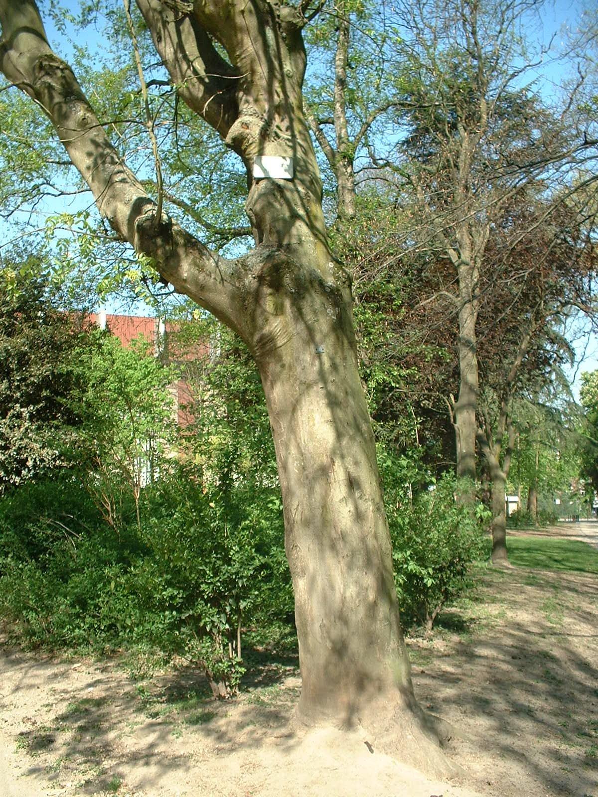 Frêne à fleurs/plumeux, Parc Astrid,  17 Avril 2003