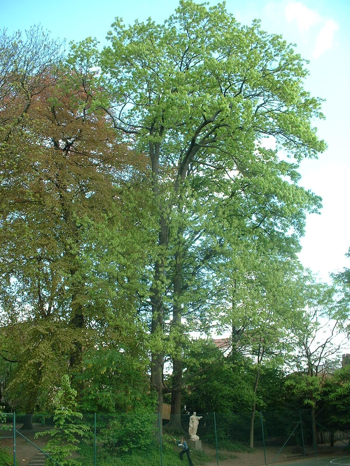 Chêne rouge d'Amérique – Woluwé-Saint-Lambert, Rue Vergote, 40 –  29 Avril 2003
