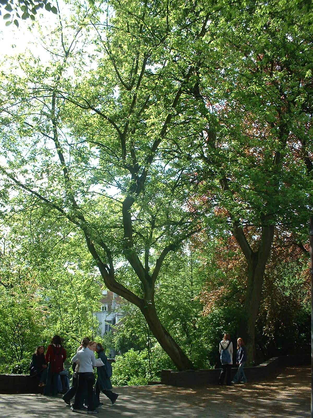 Erable à feuilles de frêne – Woluwé-Saint-Lambert, Rue Vergote, 40 –  29 Avril 2003