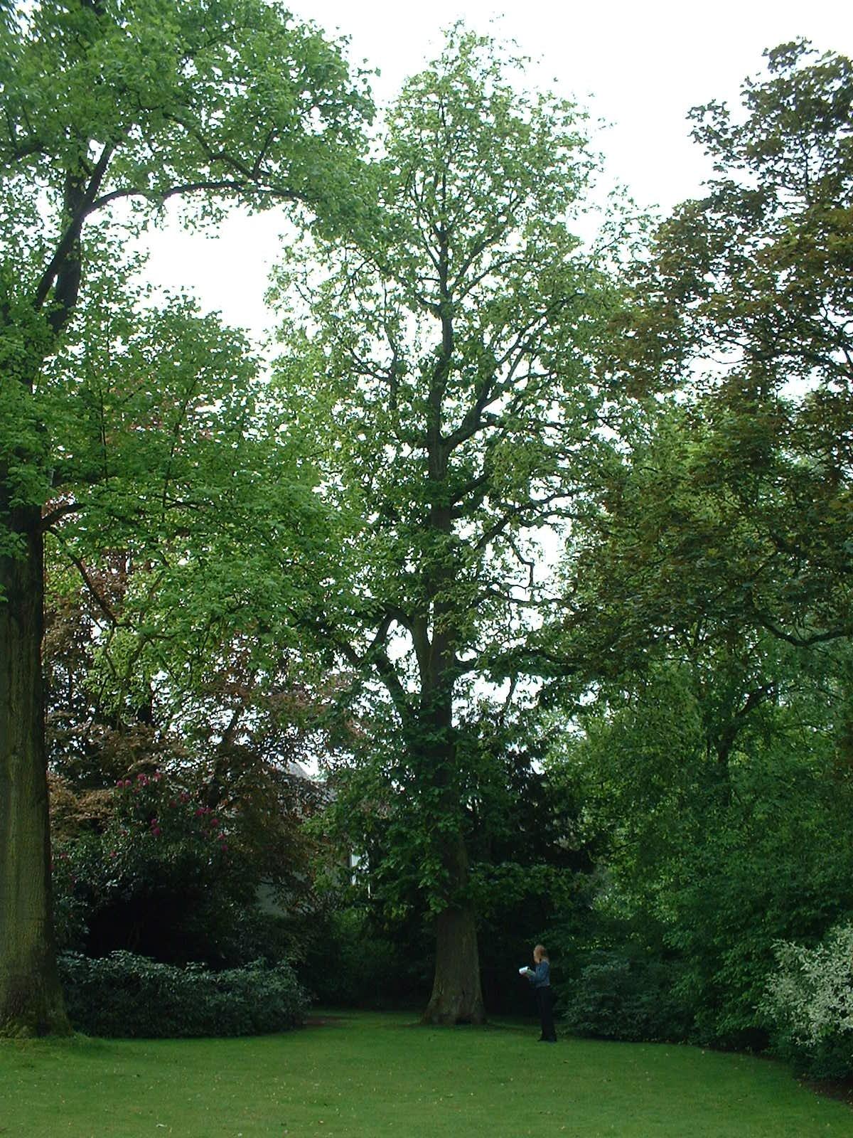 Hongaarse Eik – St.- Pieters - Woluwe, Tervurenlaan, 361 –  06 Mei 2003
