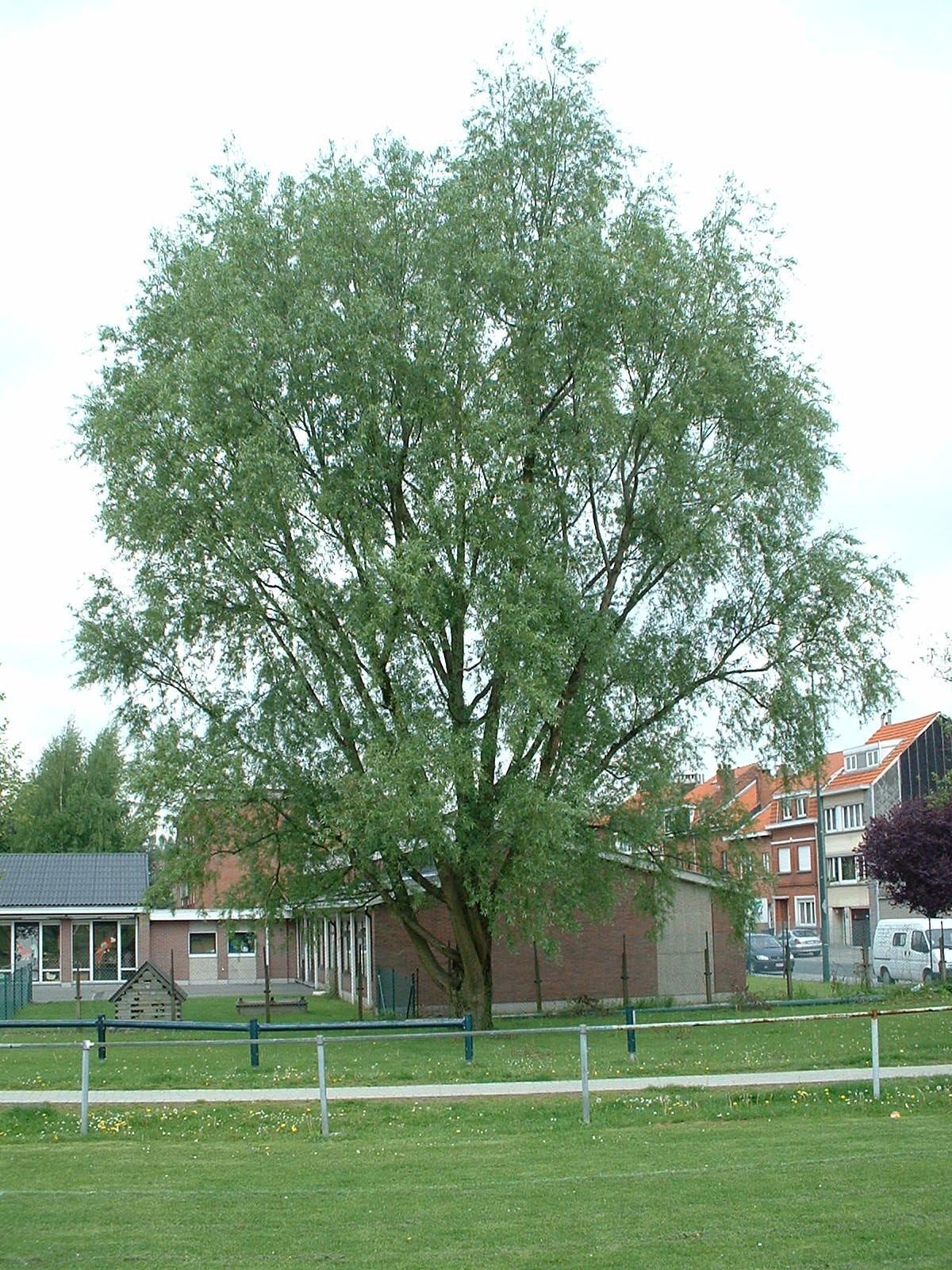Gewone wilg – St.- Pieters - Woluwe, Grensstraat –  06 Mei 2003
