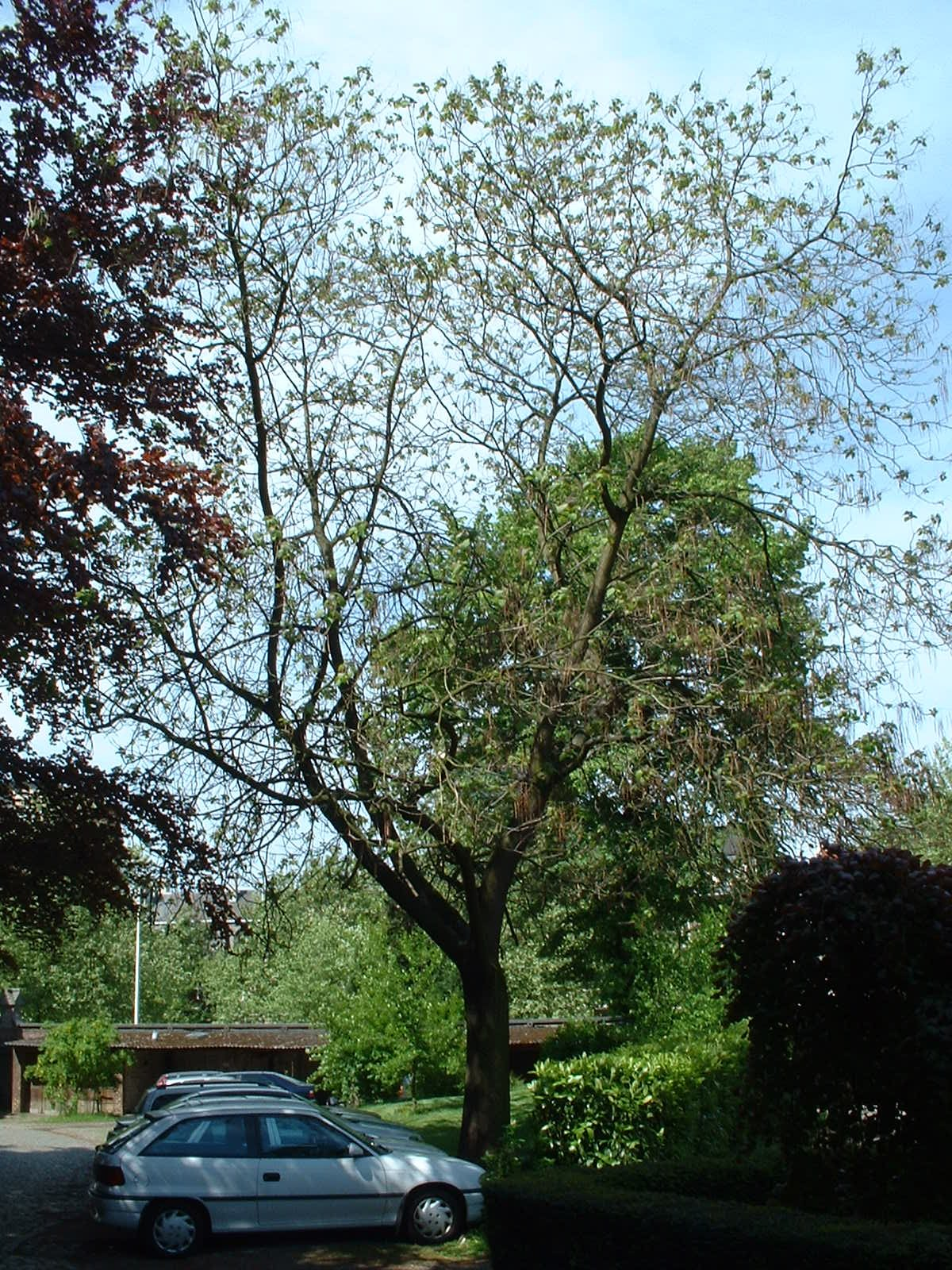 Catalpa rougeâtre – Etterbeek, Parc du collège Saint-Michel, Boulevard Saint-Michel, 24 –  07 Mai 2003