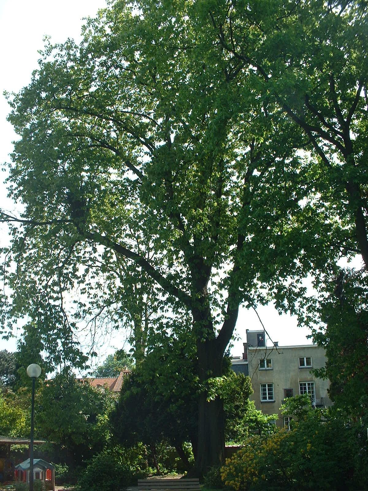 Chêne rouge d'Amérique – Etterbeek, Rue Père Eudore Devroye, 29 –  07 Mai 2003