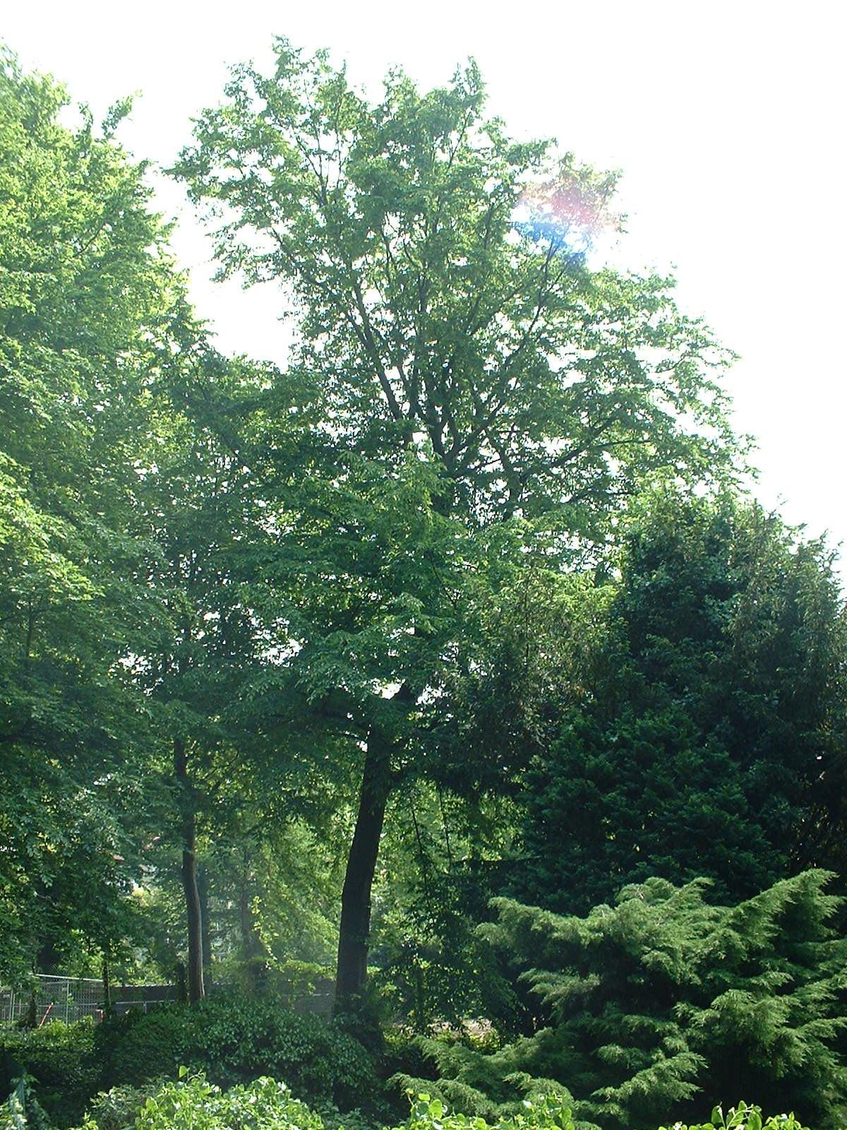 Gewone haagbeuk – Etterbeek, Bosmanpark, Gérardstraat –  08 Mei 2003