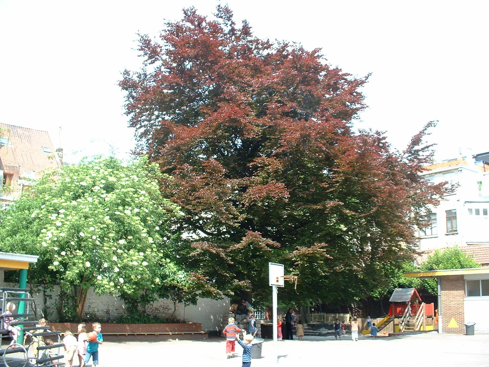 Hêtre pourpre – Etterbeek, Rue d'Oultremont, 19 –  08 Mai 2003