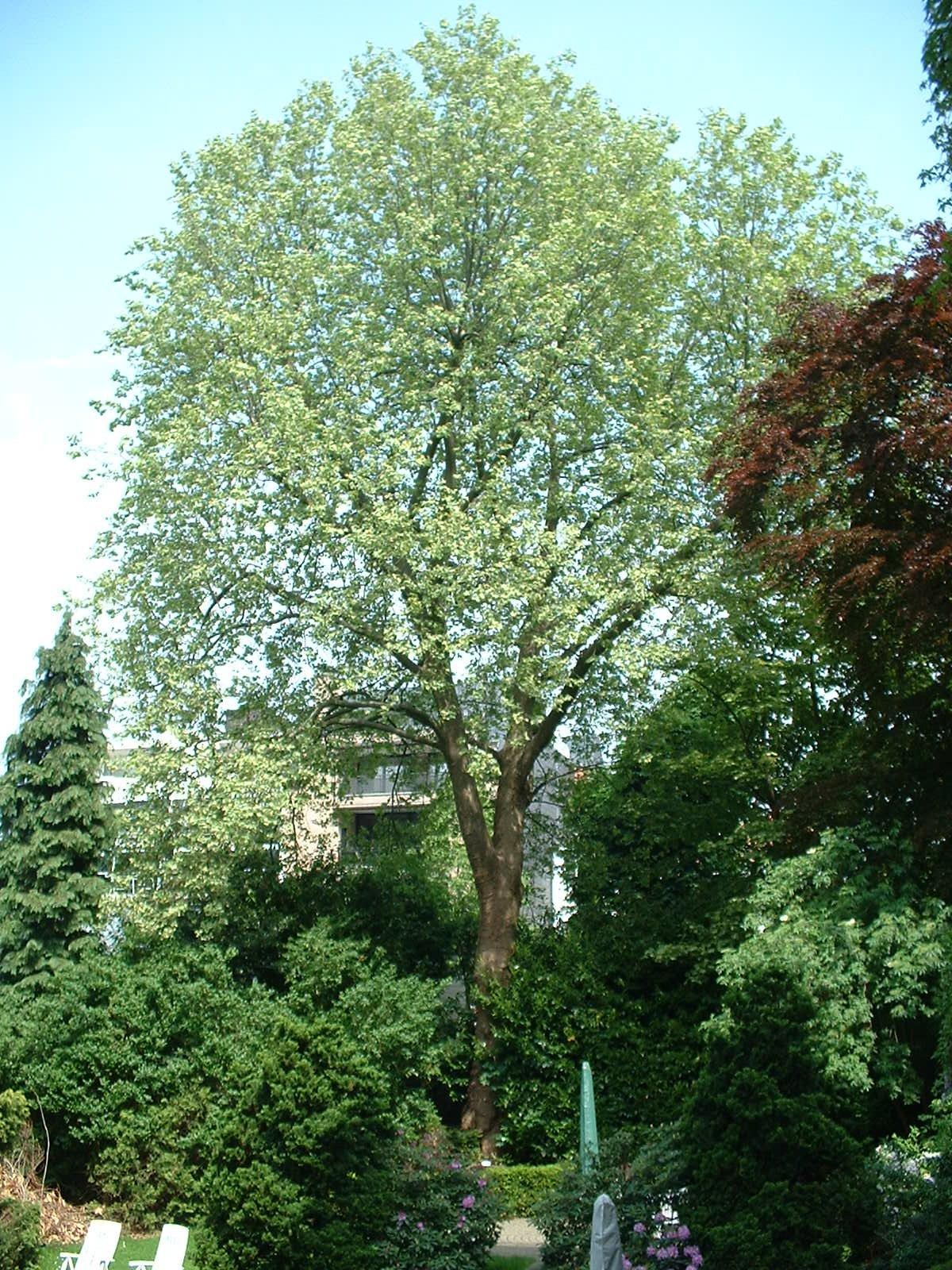 Platane à feuille d'érable – Etterbeek, Avenue de l'Yser, 21-22 –  08 Mai 2003